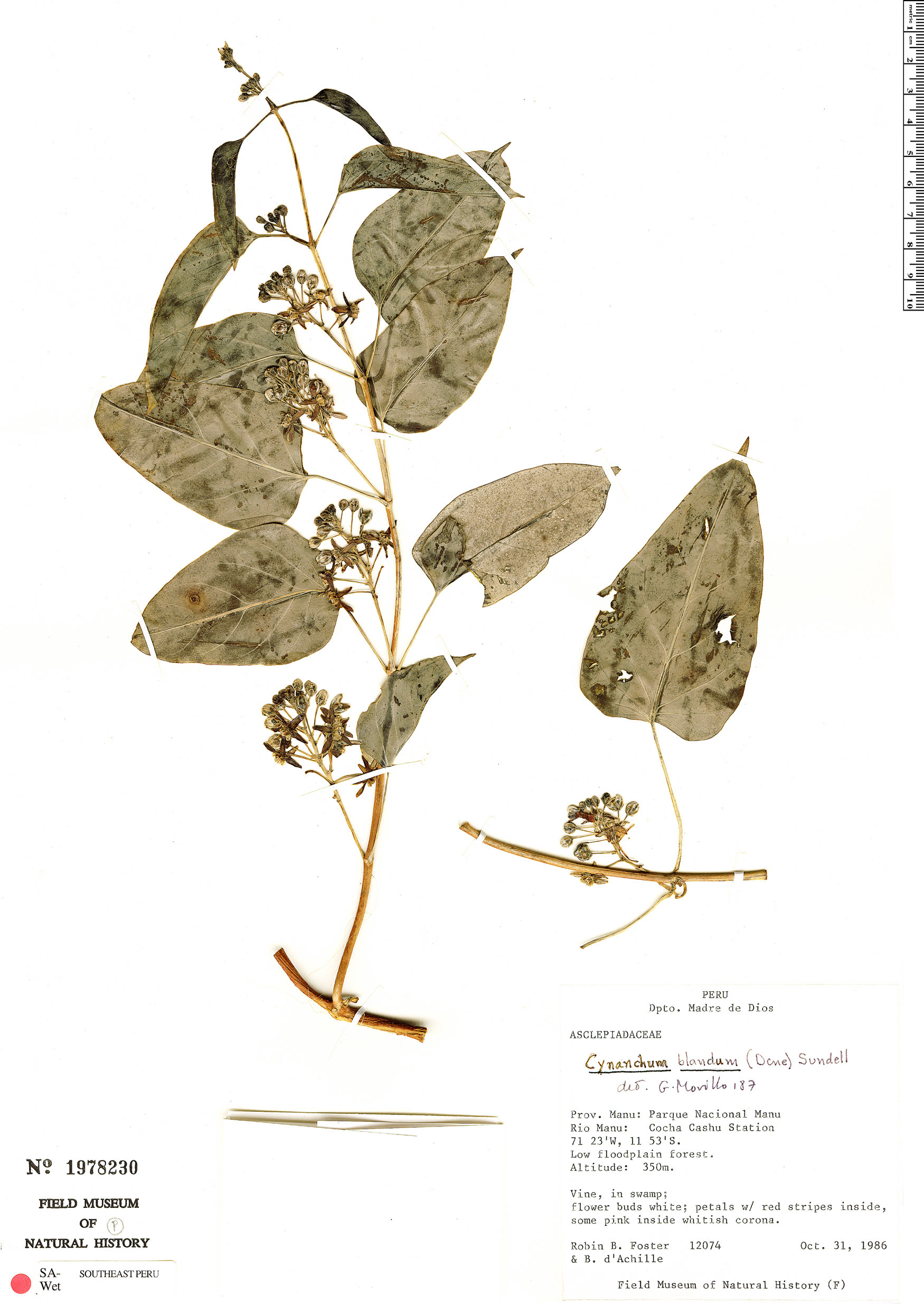 Specimen: Cynanchum blandum