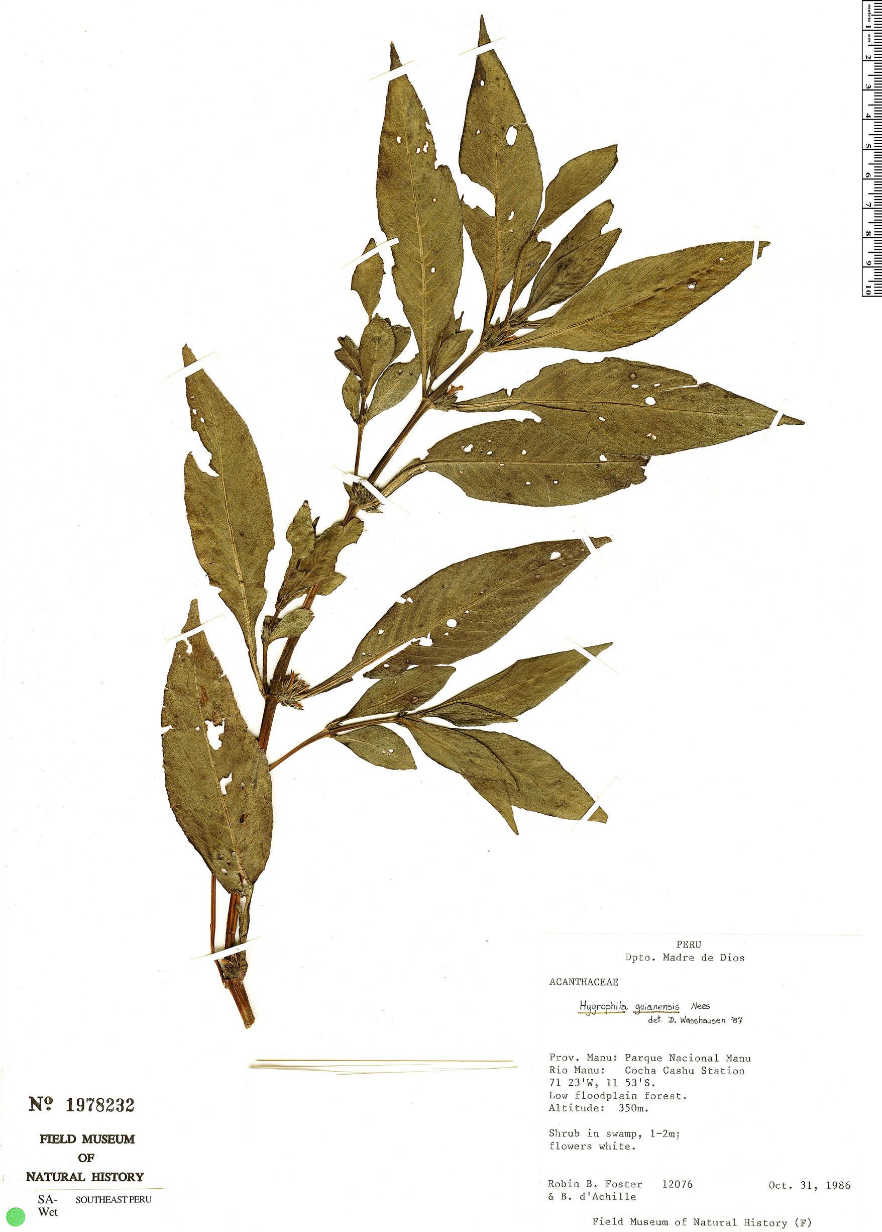 Espécimen: Hygrophila costata