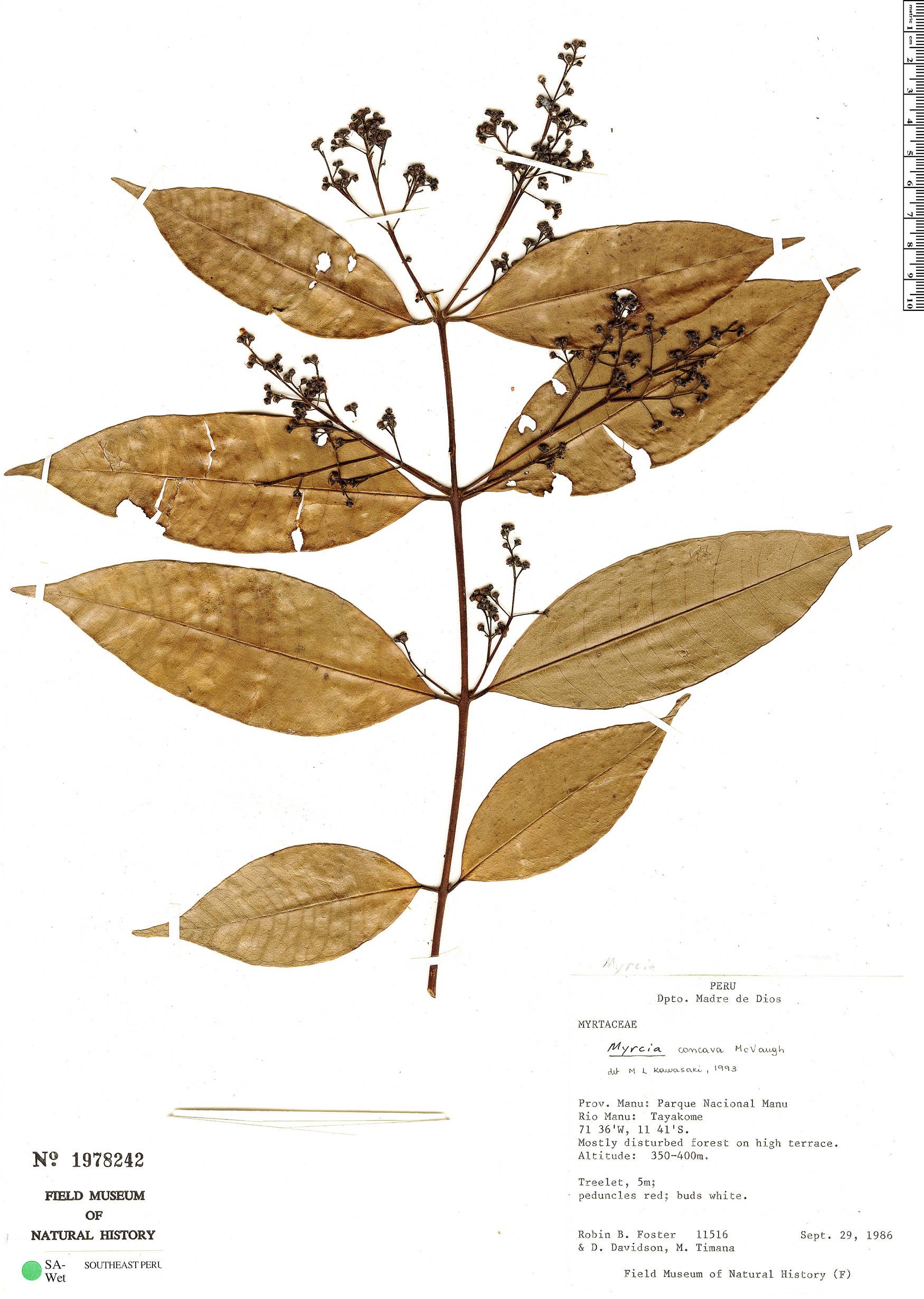 Specimen: Myrcia concava