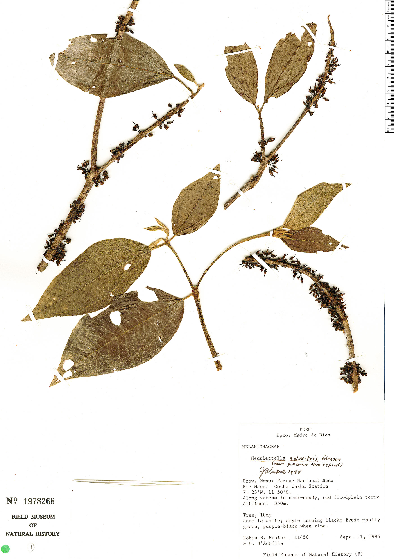 Specimen: Henriettea sylvestris