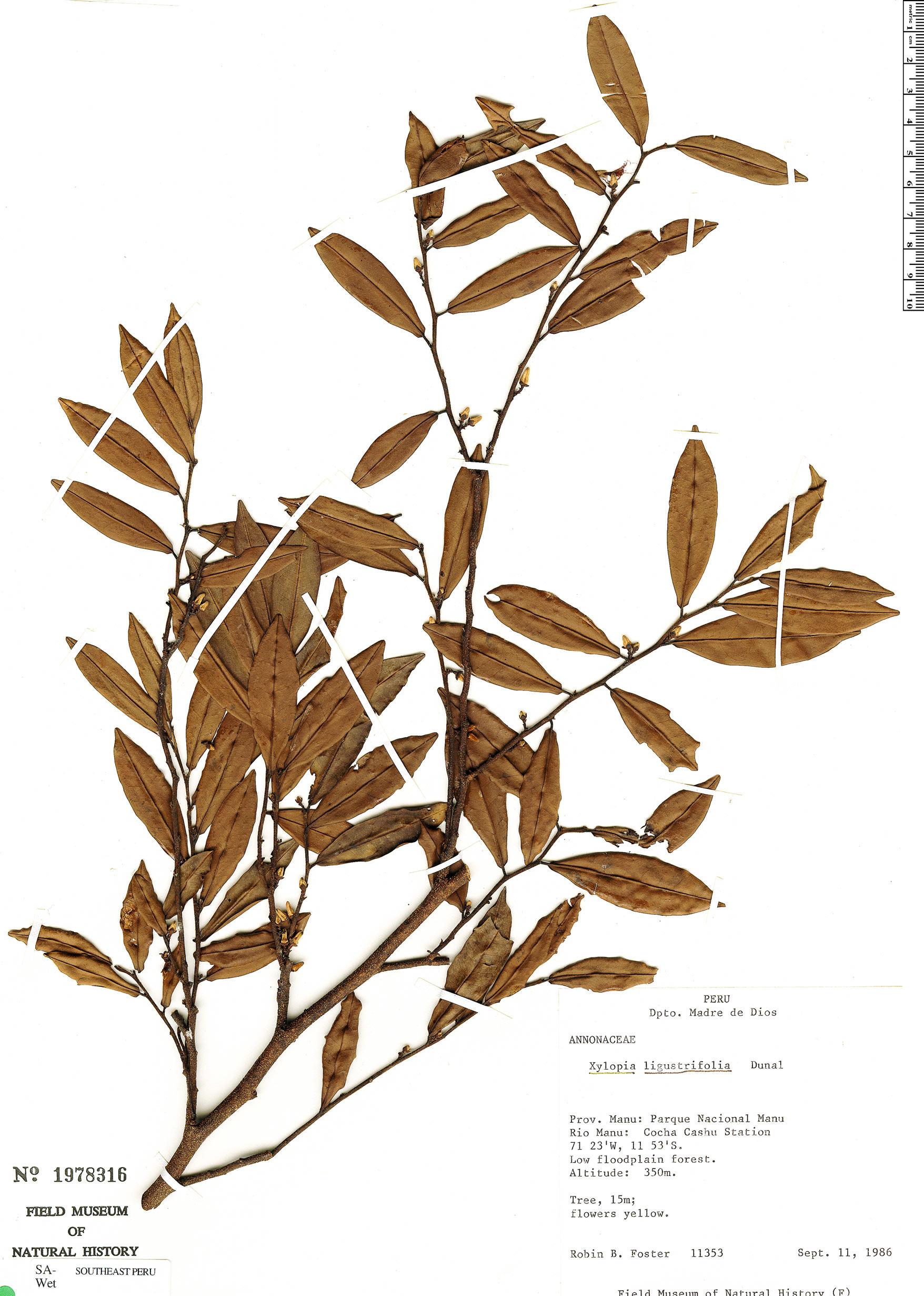 Specimen: Xylopia ligustrifolia