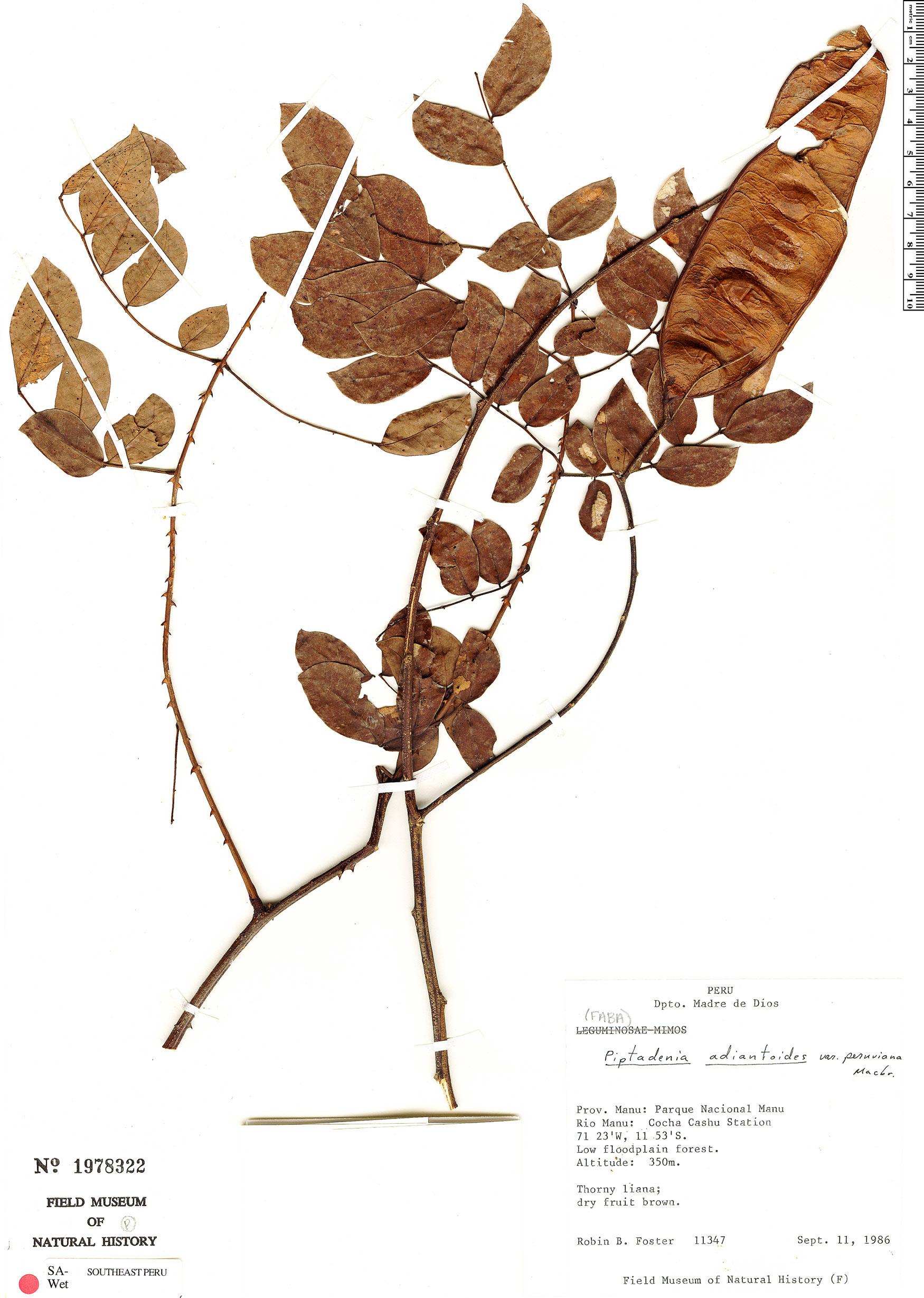 Specimen: Piptadenia peruviana