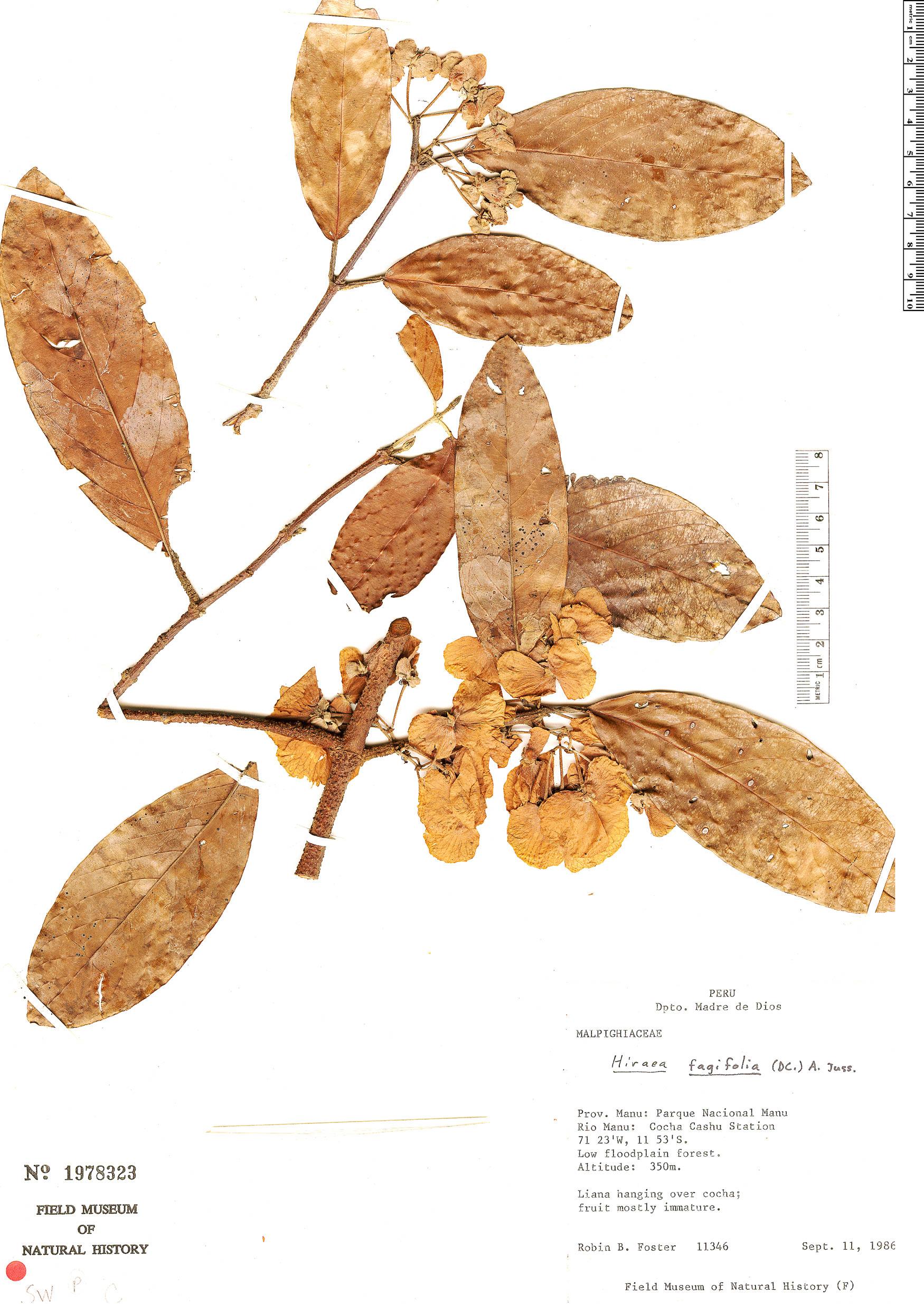 Specimen: Hiraea fagifolia