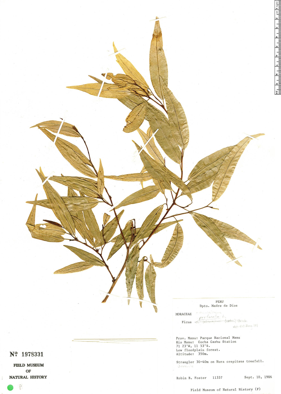 Specimen: Ficus pallida