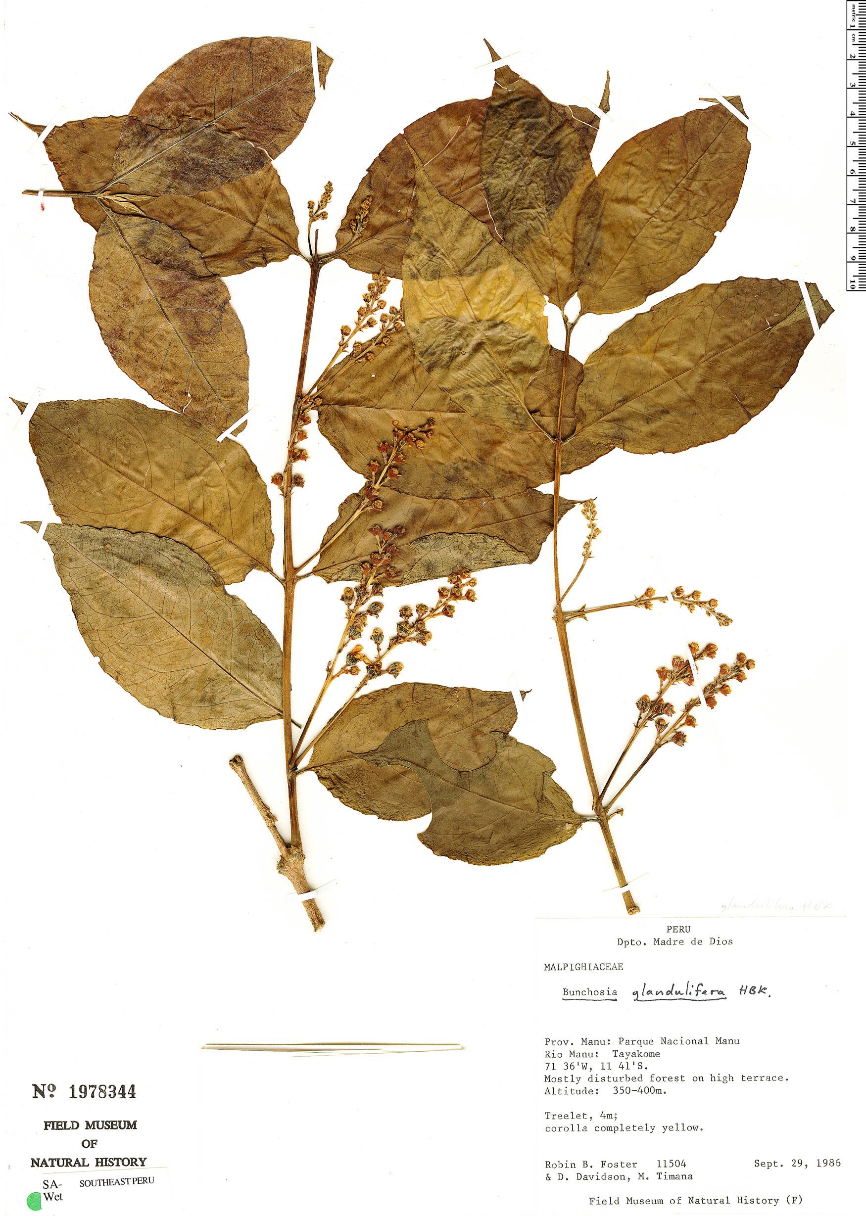 Specimen: Bunchosia glandulifera