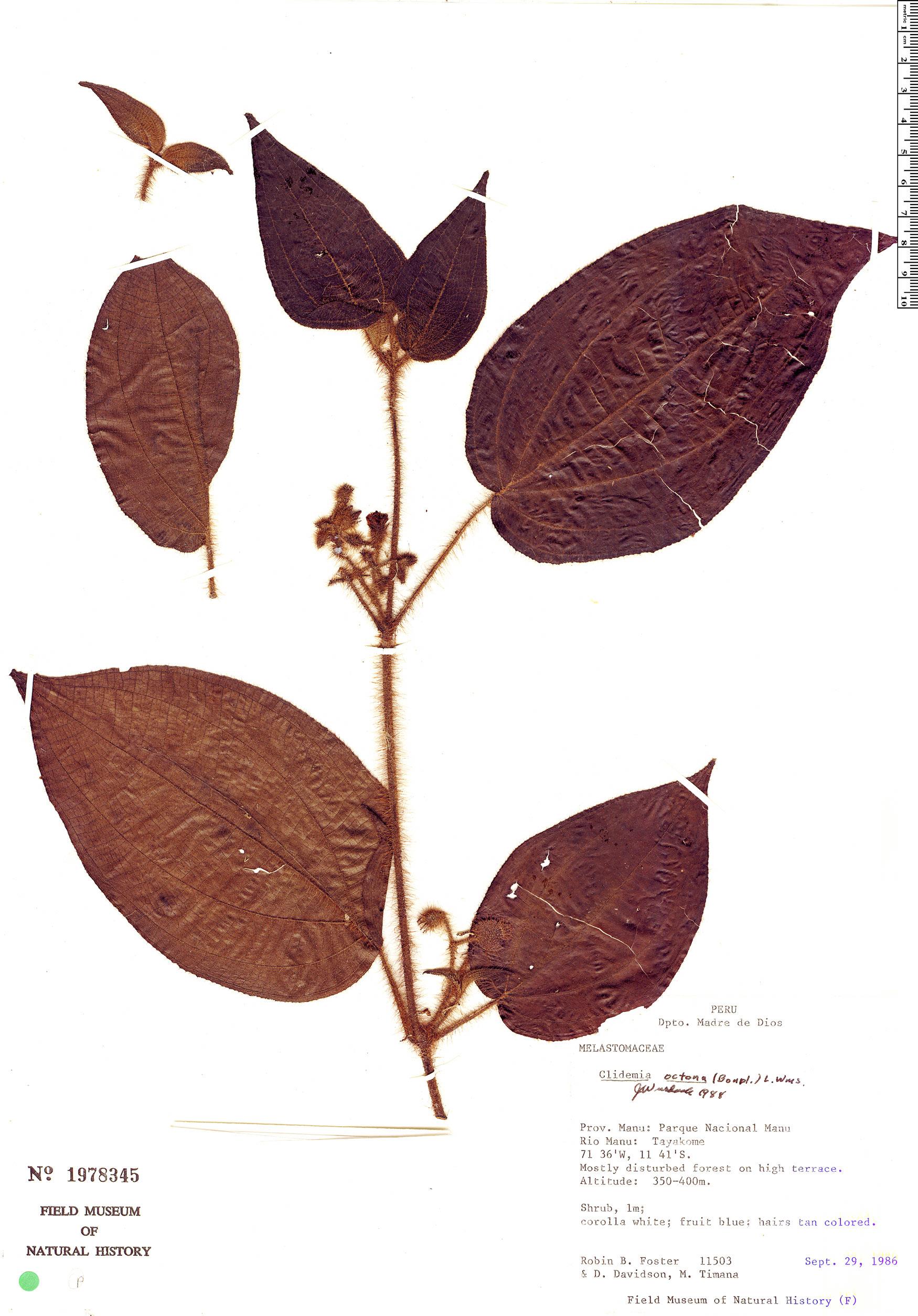 Specimen: Clidemia octona