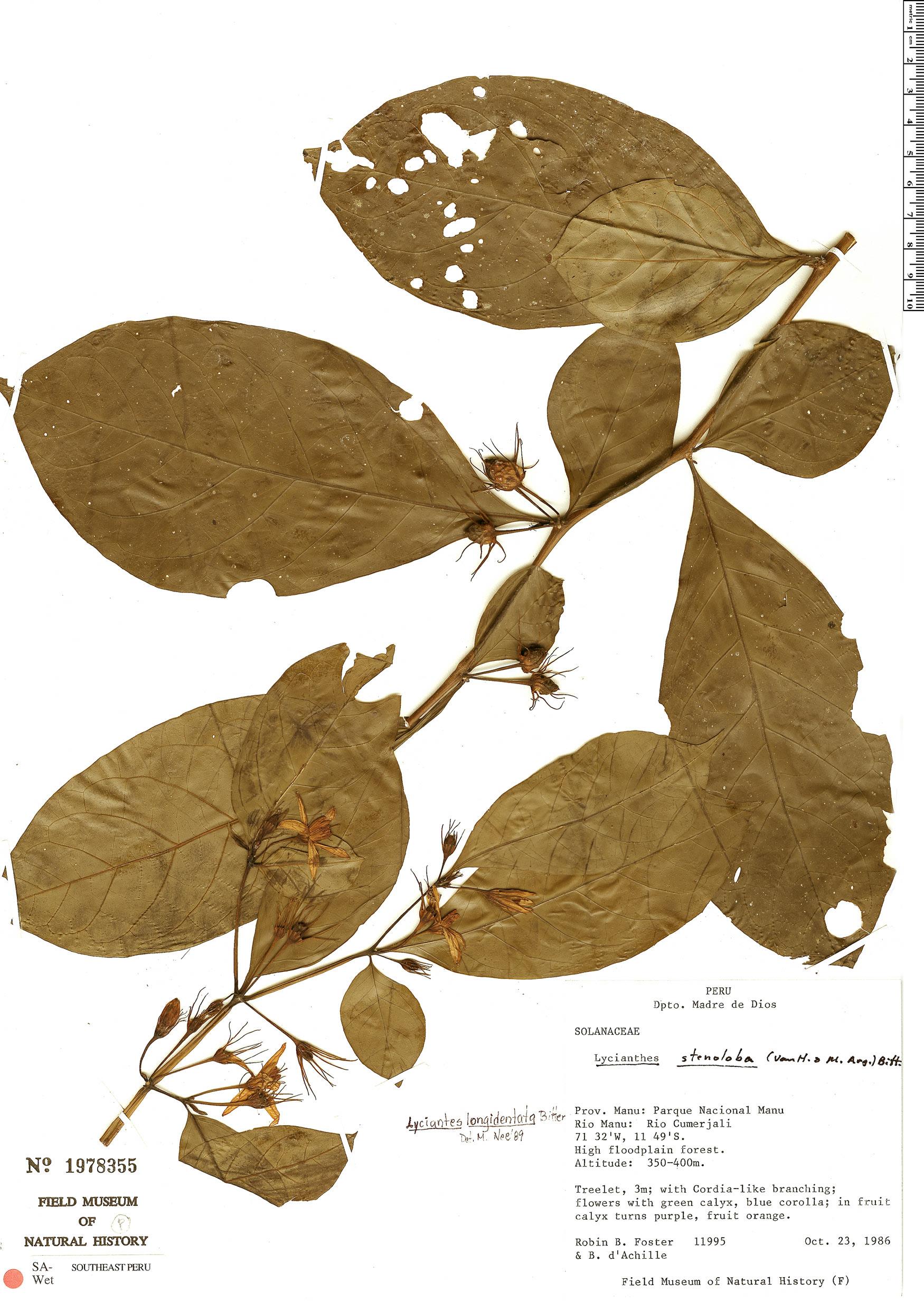 Specimen: Lycianthes longidentata