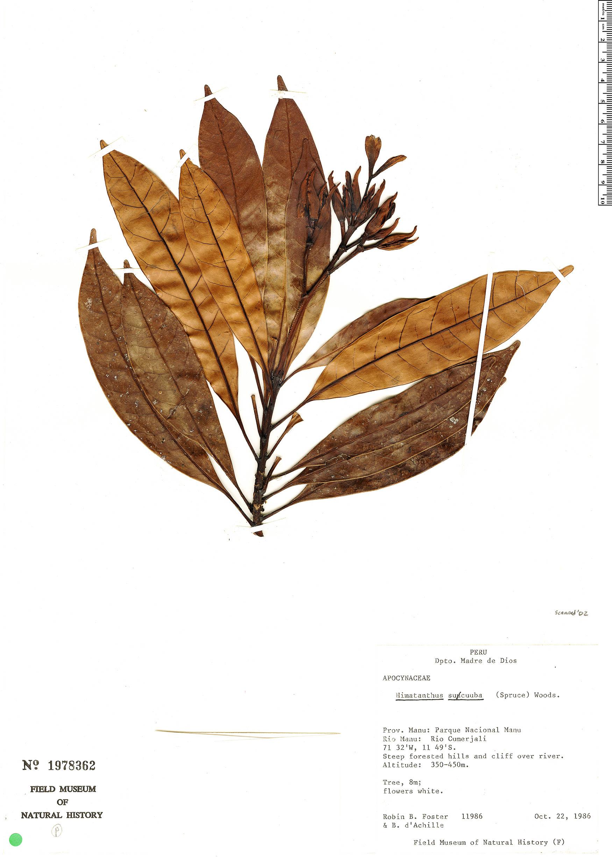 Specimen: Himatanthus sucuuba