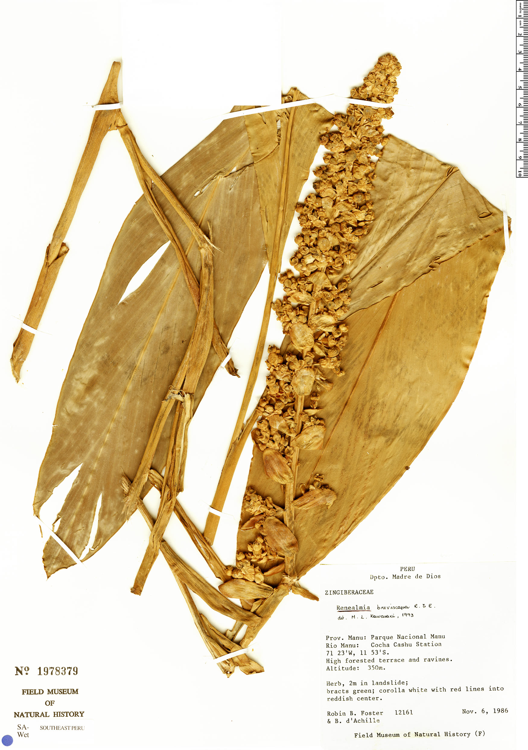 Specimen: Renealmia breviscapa