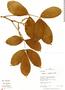 Paullinia rugosa Benth., Peru, R. B. Foster 12163, F
