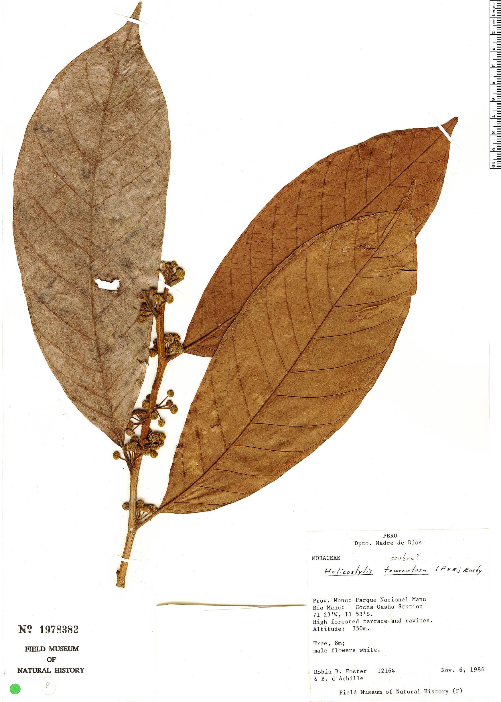 Specimen: Helicostylis tomentosa