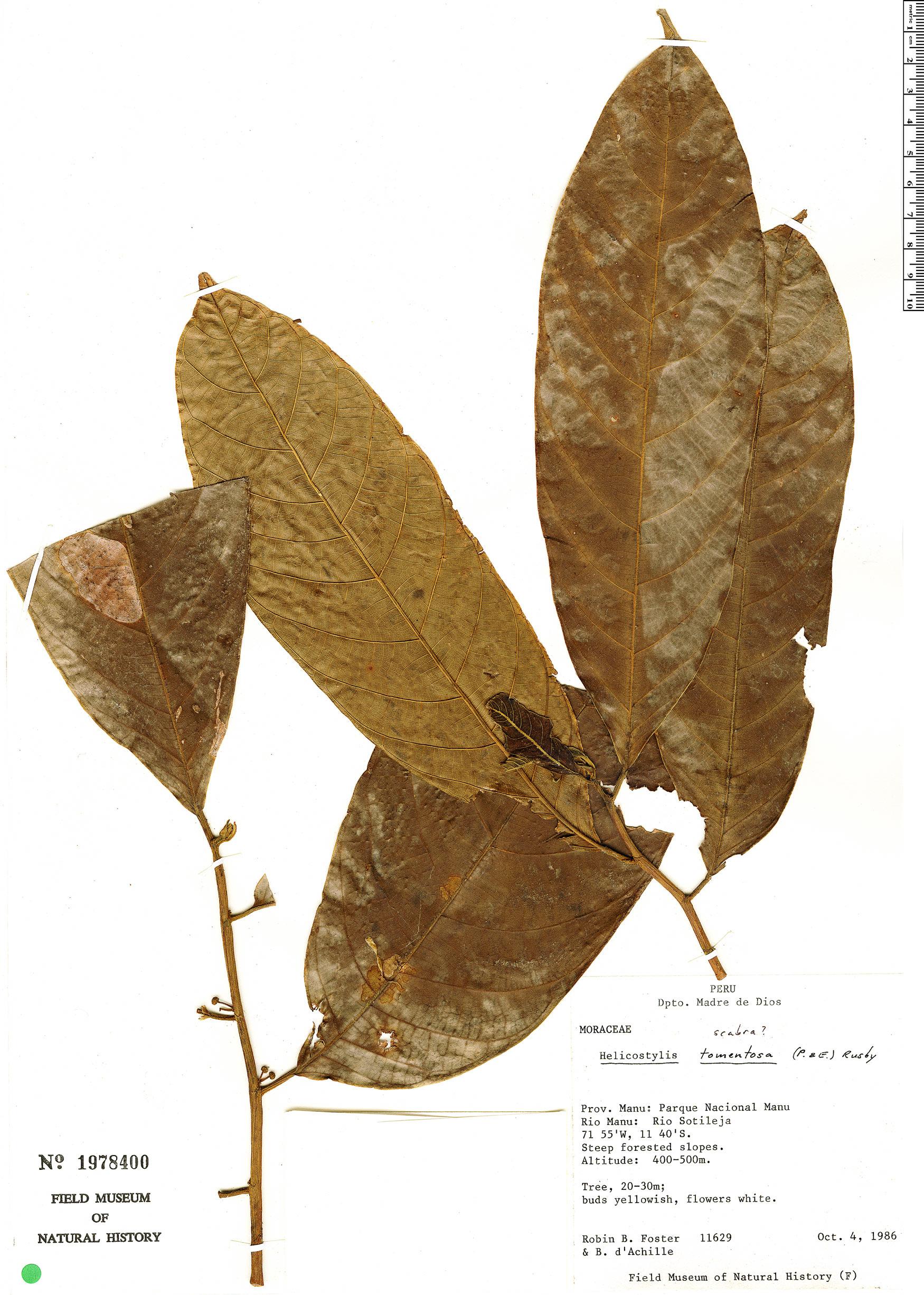 Espécime: Helicostylis tomentosa