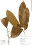 Helicostylis tomentosa, Peru, R. B. Foster 11629, F