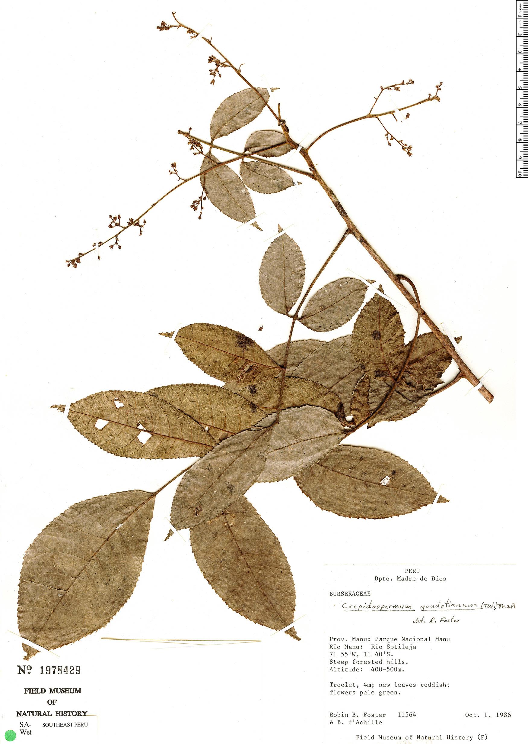 Specimen: Crepidospermum goudotianum