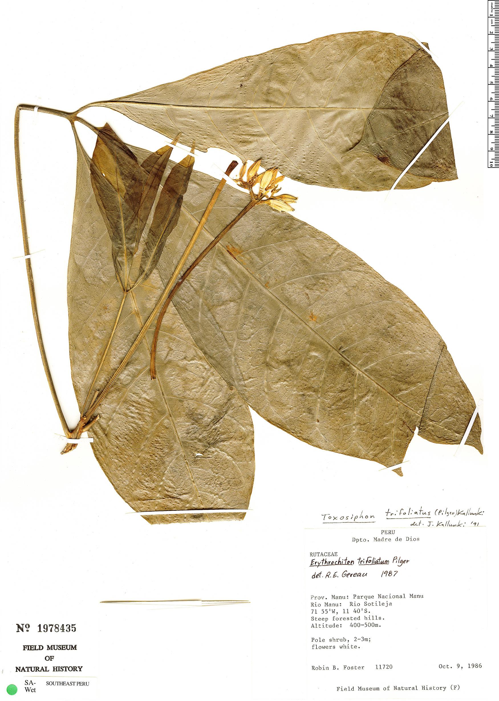 Specimen: Toxosiphon trifoliatus