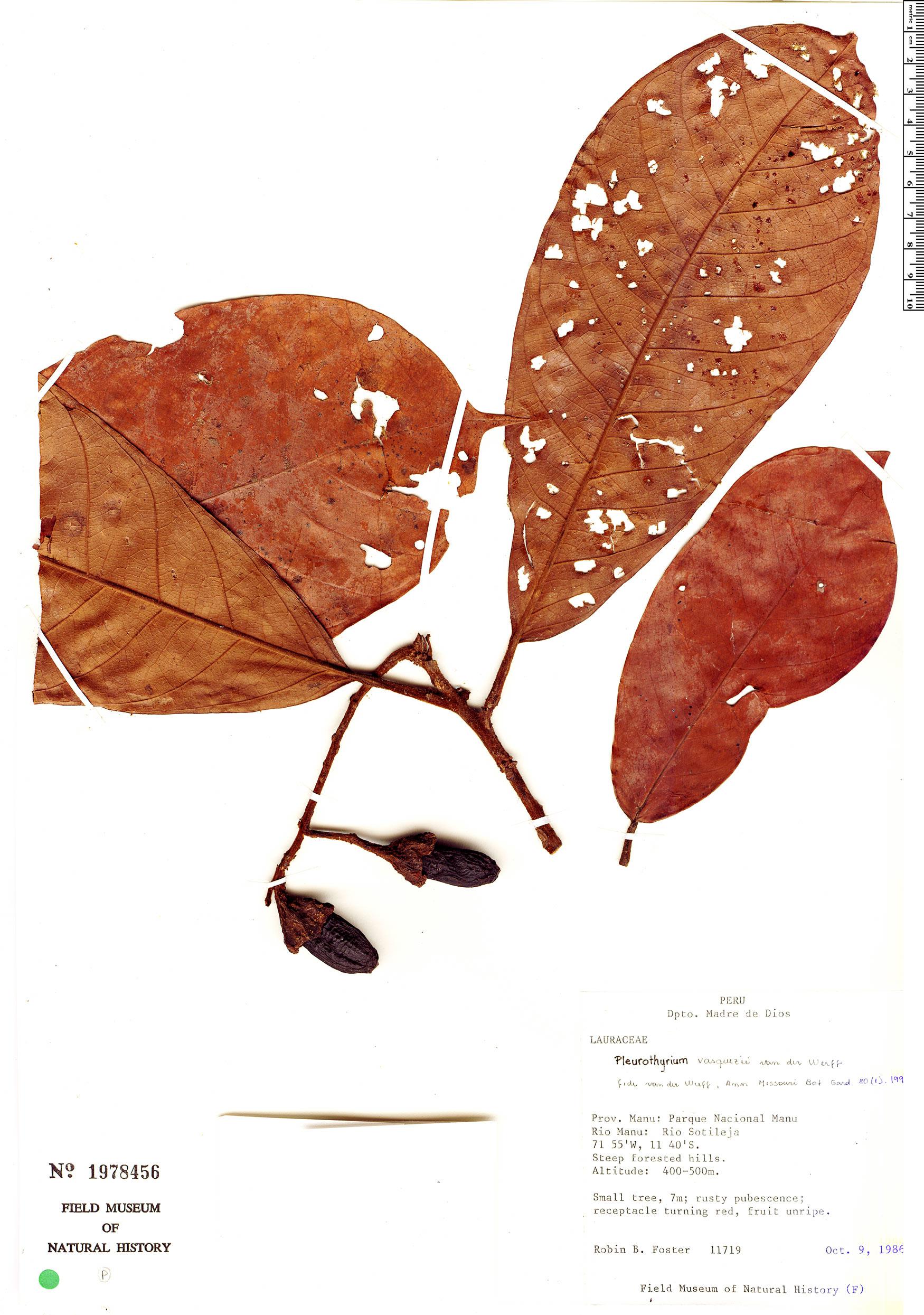 Specimen: Pleurothyrium vasquezii