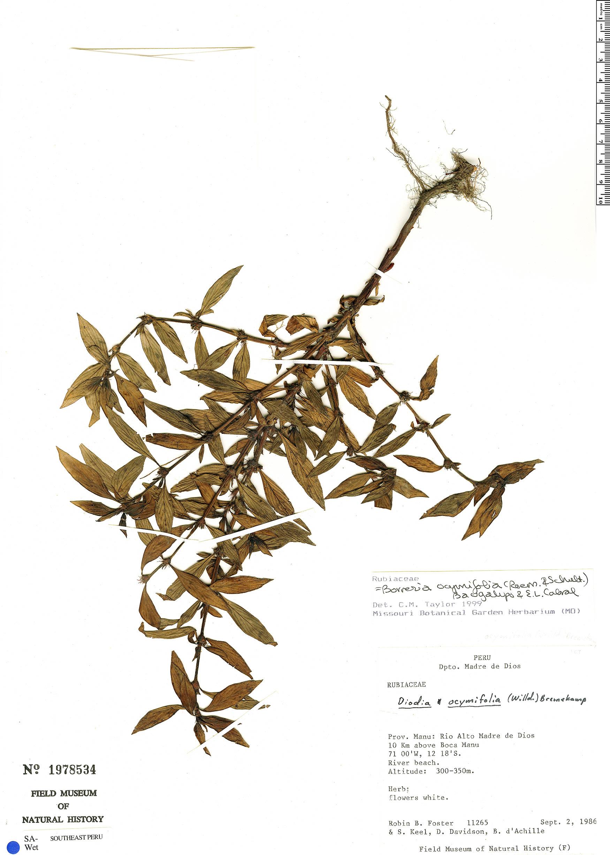 Specimen: Borreria ocymifolia