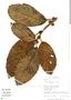 Ficus trigona L. f., Peru, R. B. Foster 11424, F