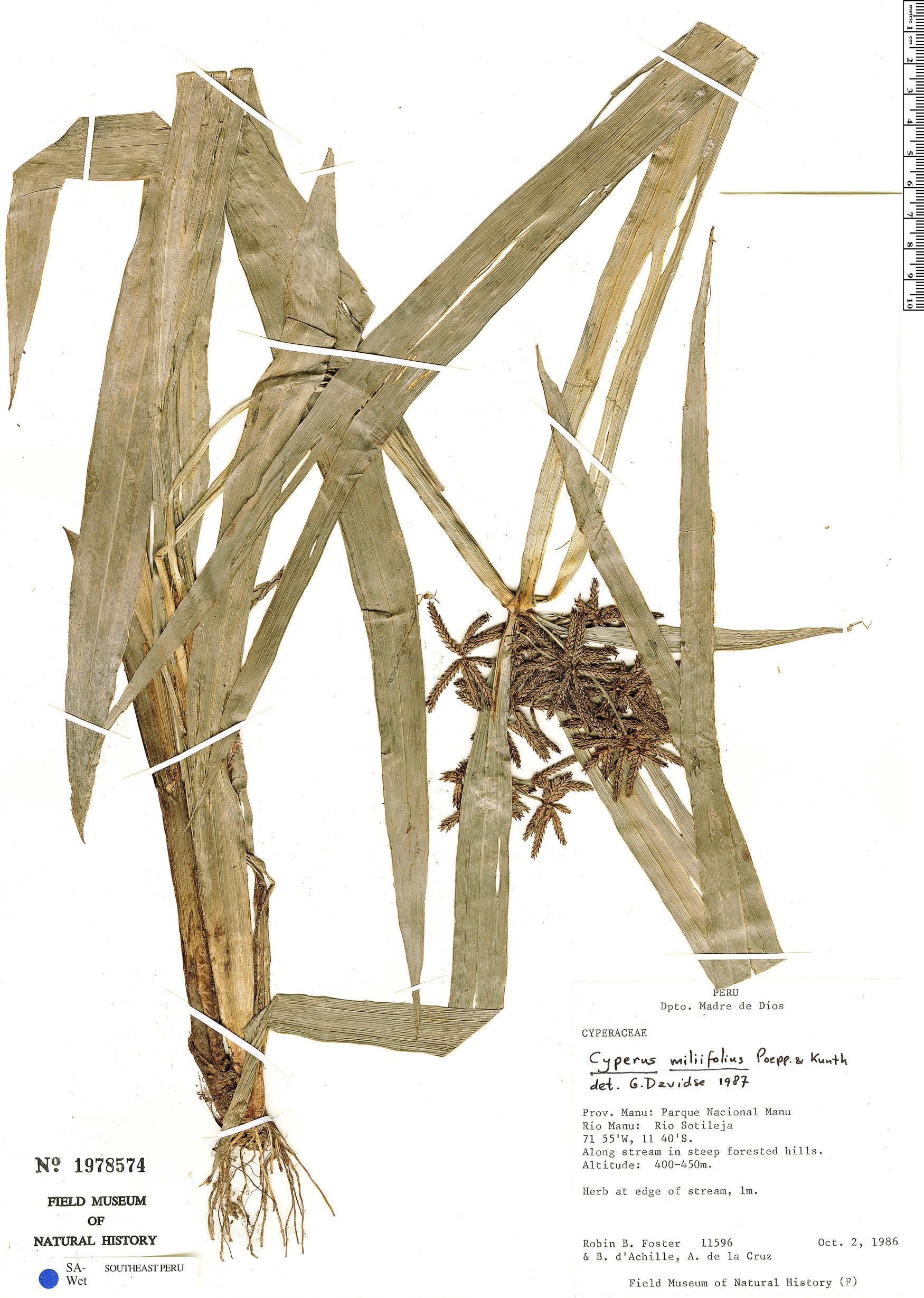 Specimen: Cyperus miliifolius