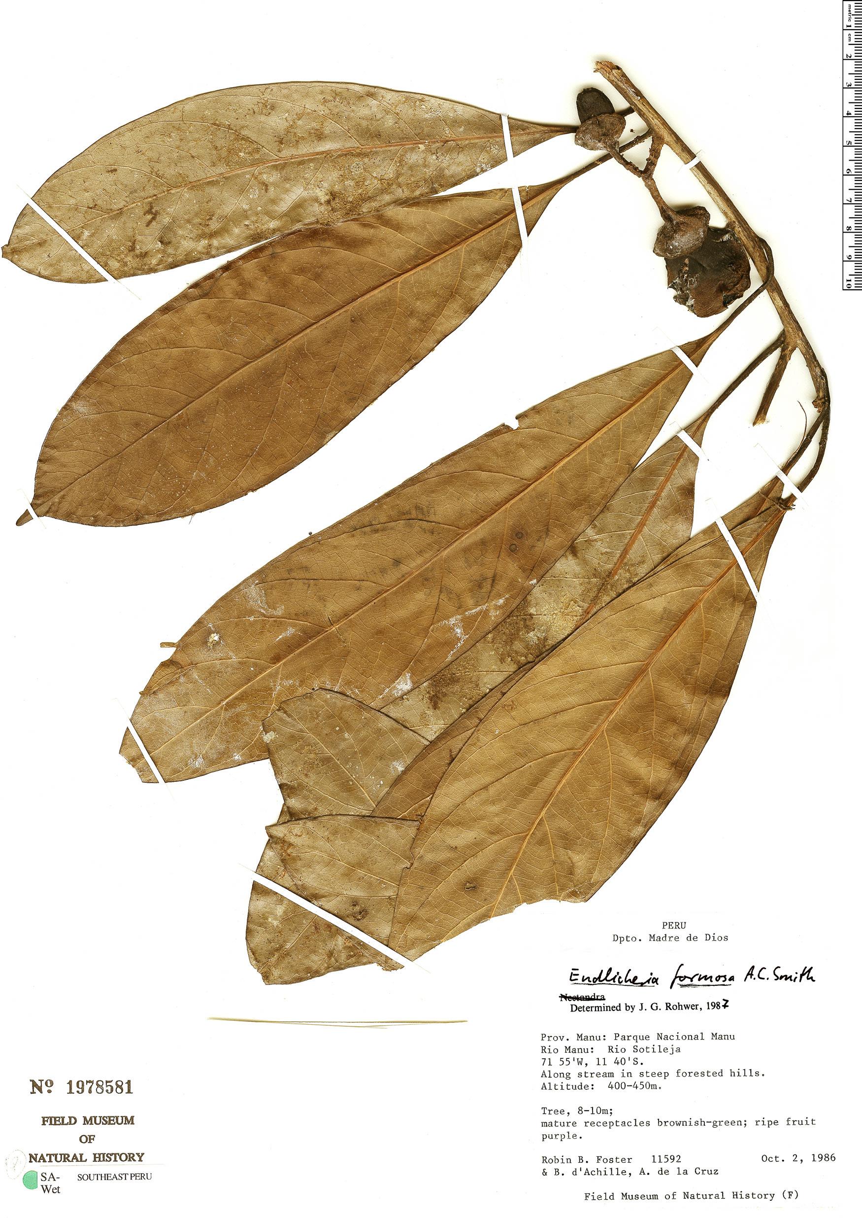 Specimen: Endlicheria formosa