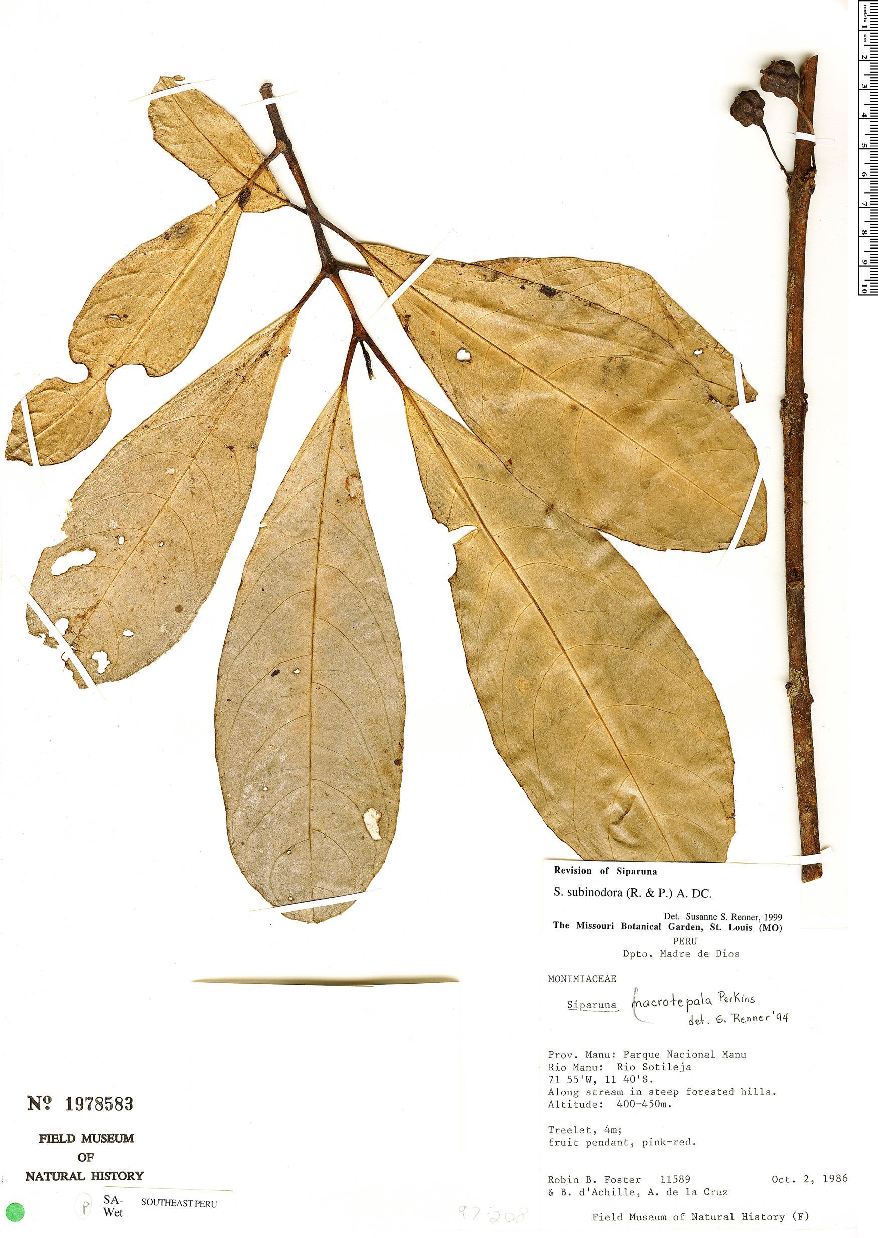 Specimen: Siparuna subinodora