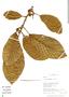 Ficus trigona L. f., Peru, R. B. Foster 11431, F