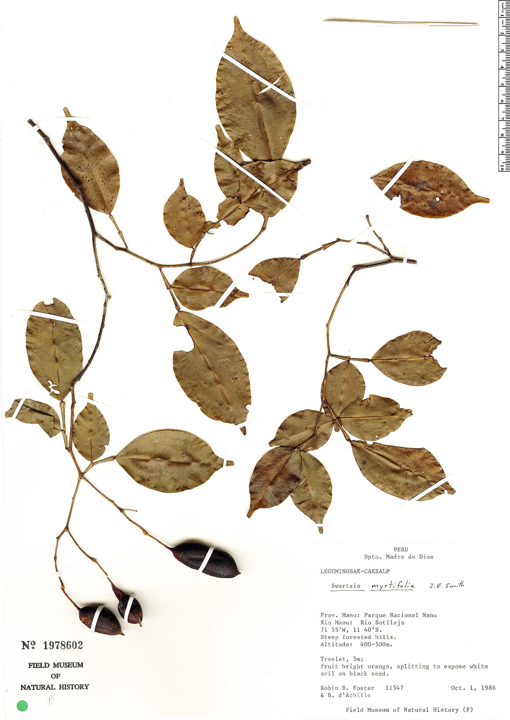 Specimen: Swartzia myrtifolia