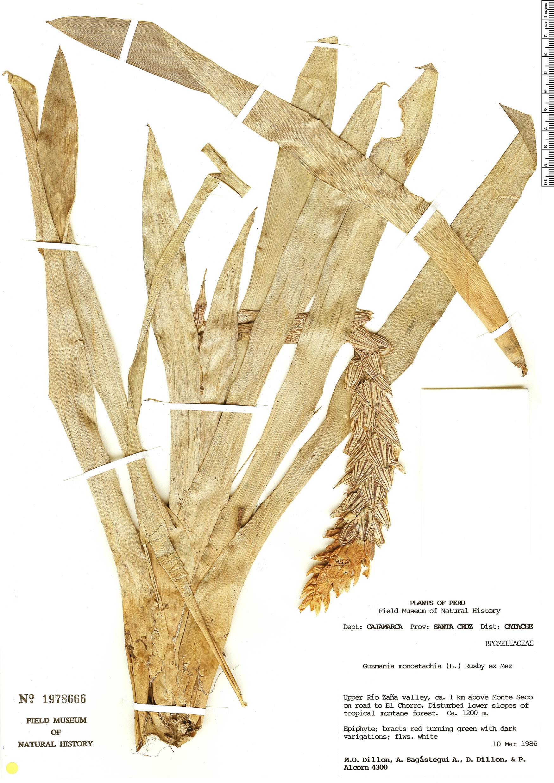 Espécime: Guzmania monostachia