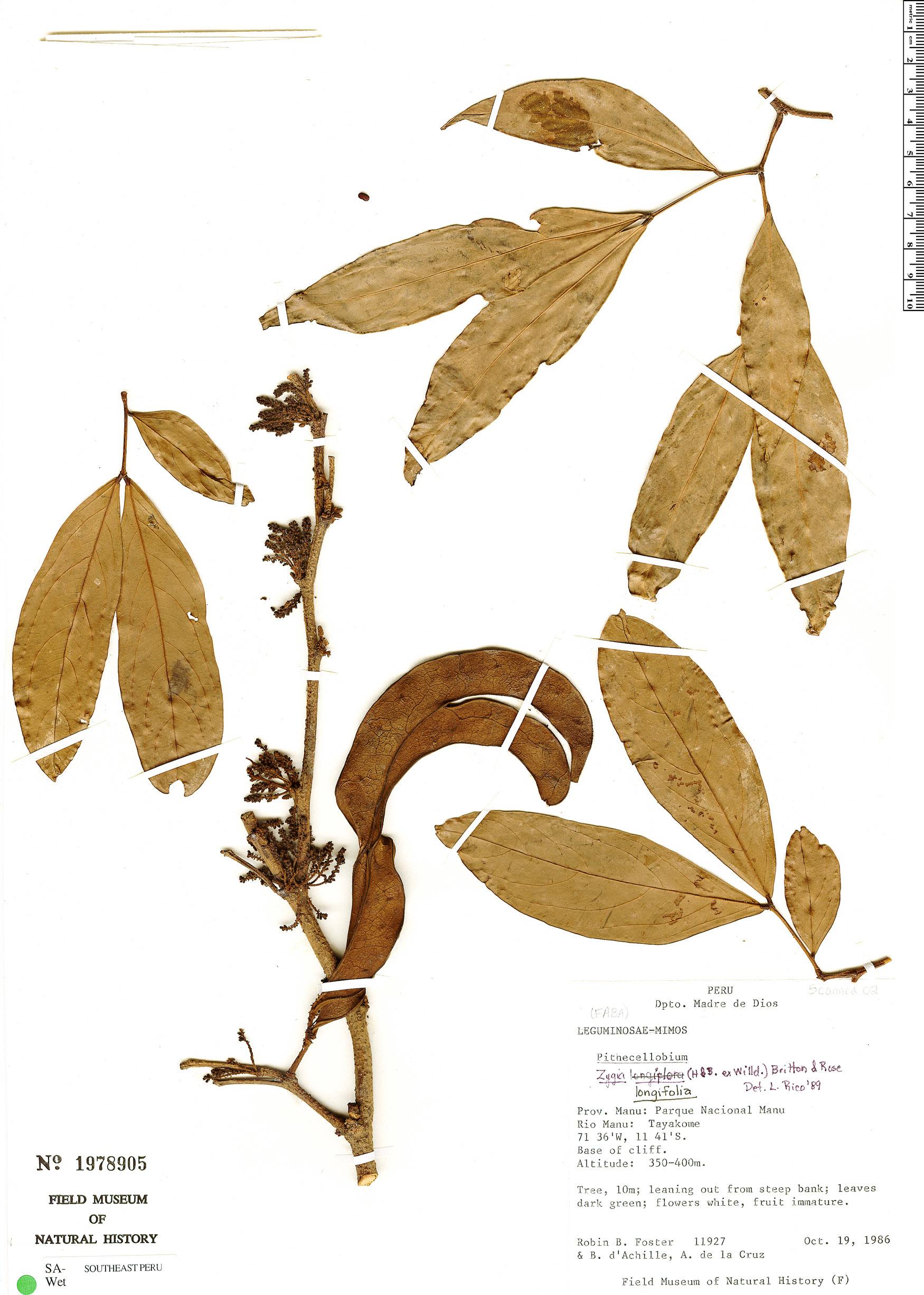 Specimen: Zygia longifolia