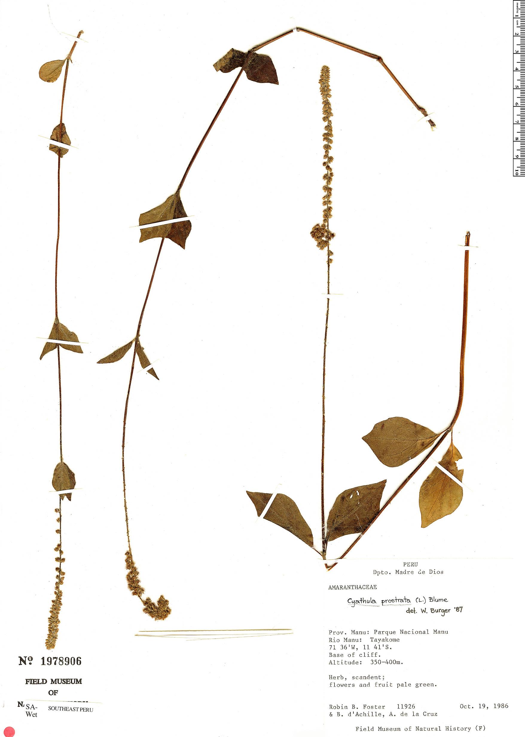 Specimen: Cyathula prostrata