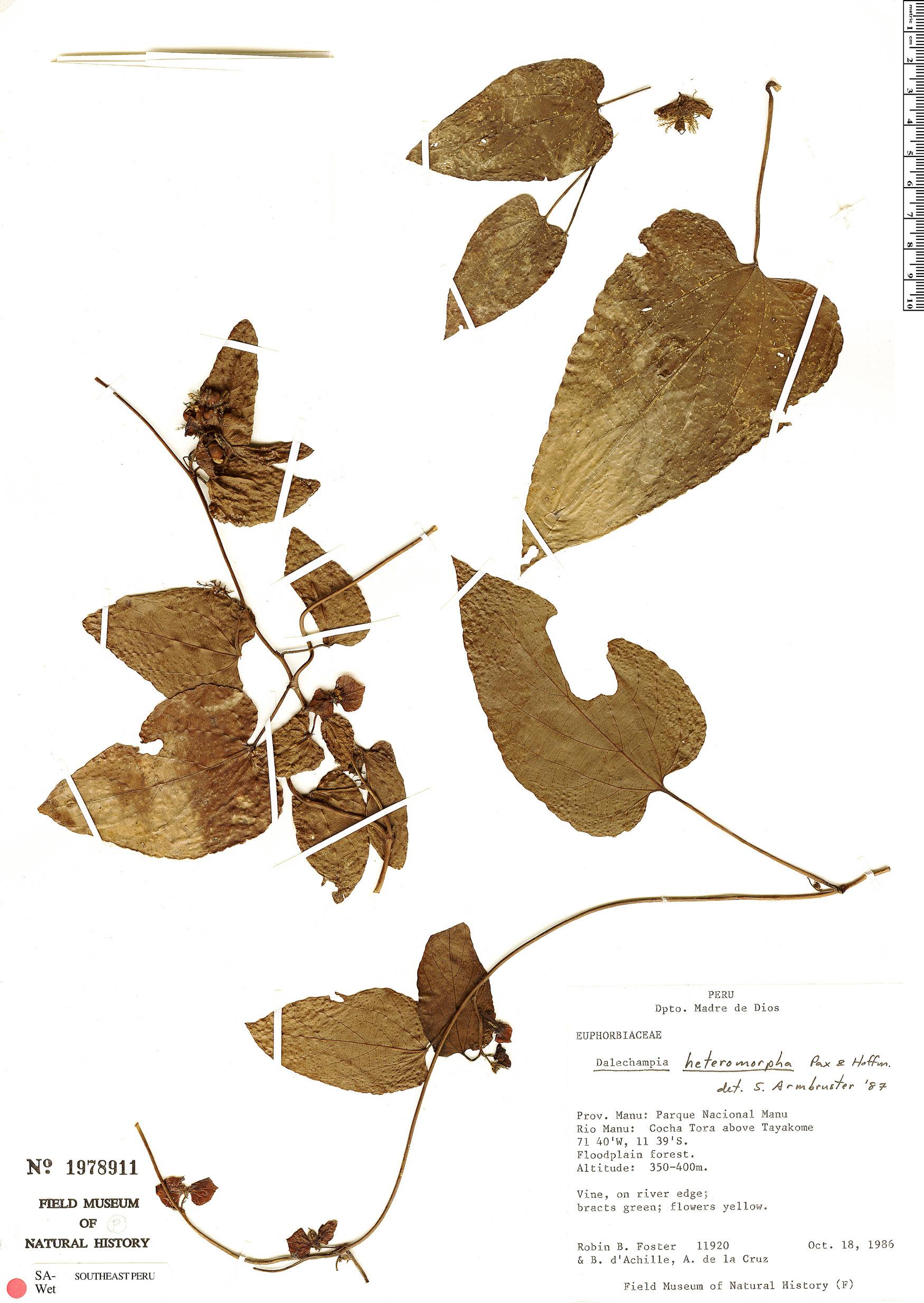 Specimen: Dalechampia heteromorpha
