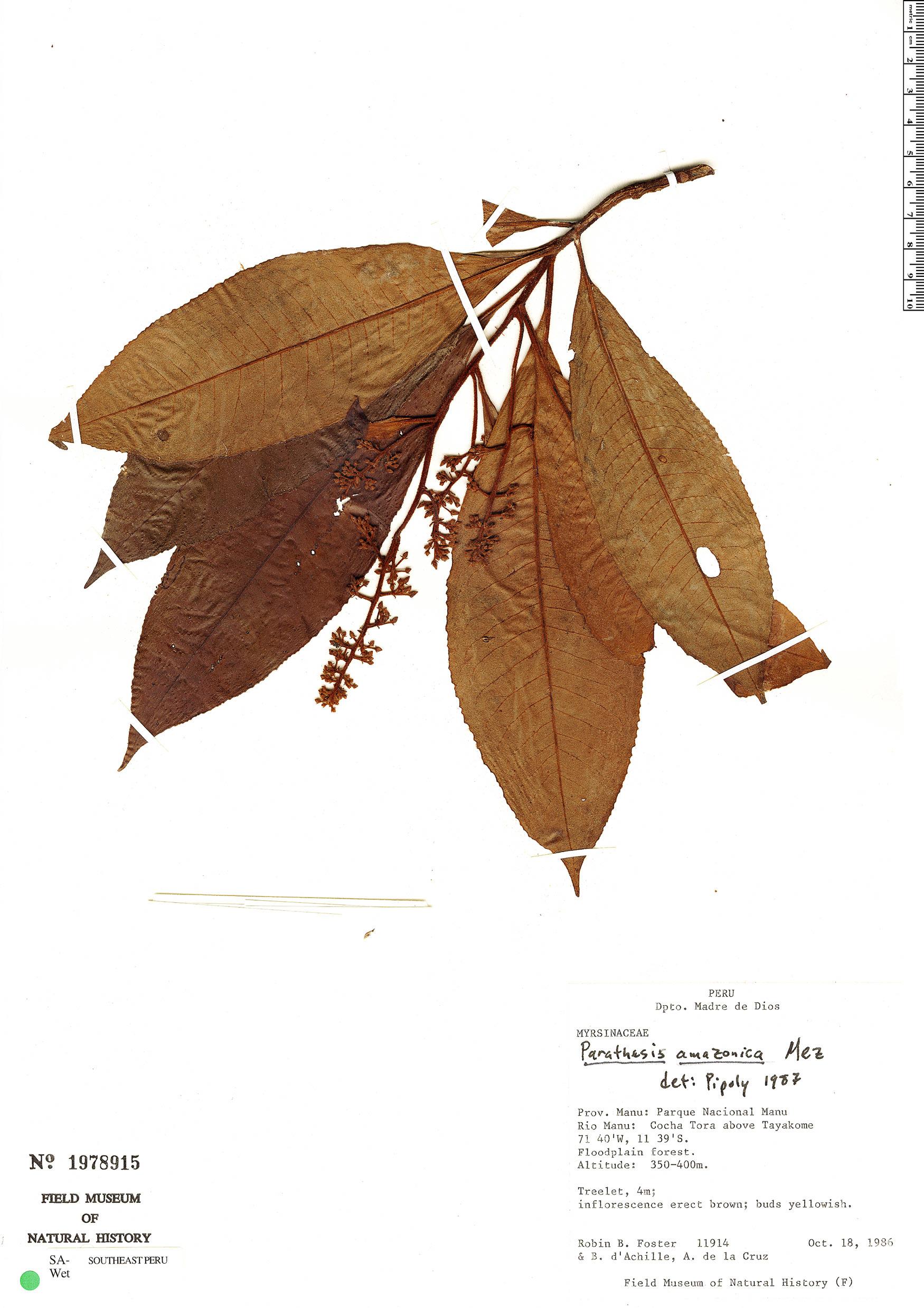 Specimen: Parathesis amazonica