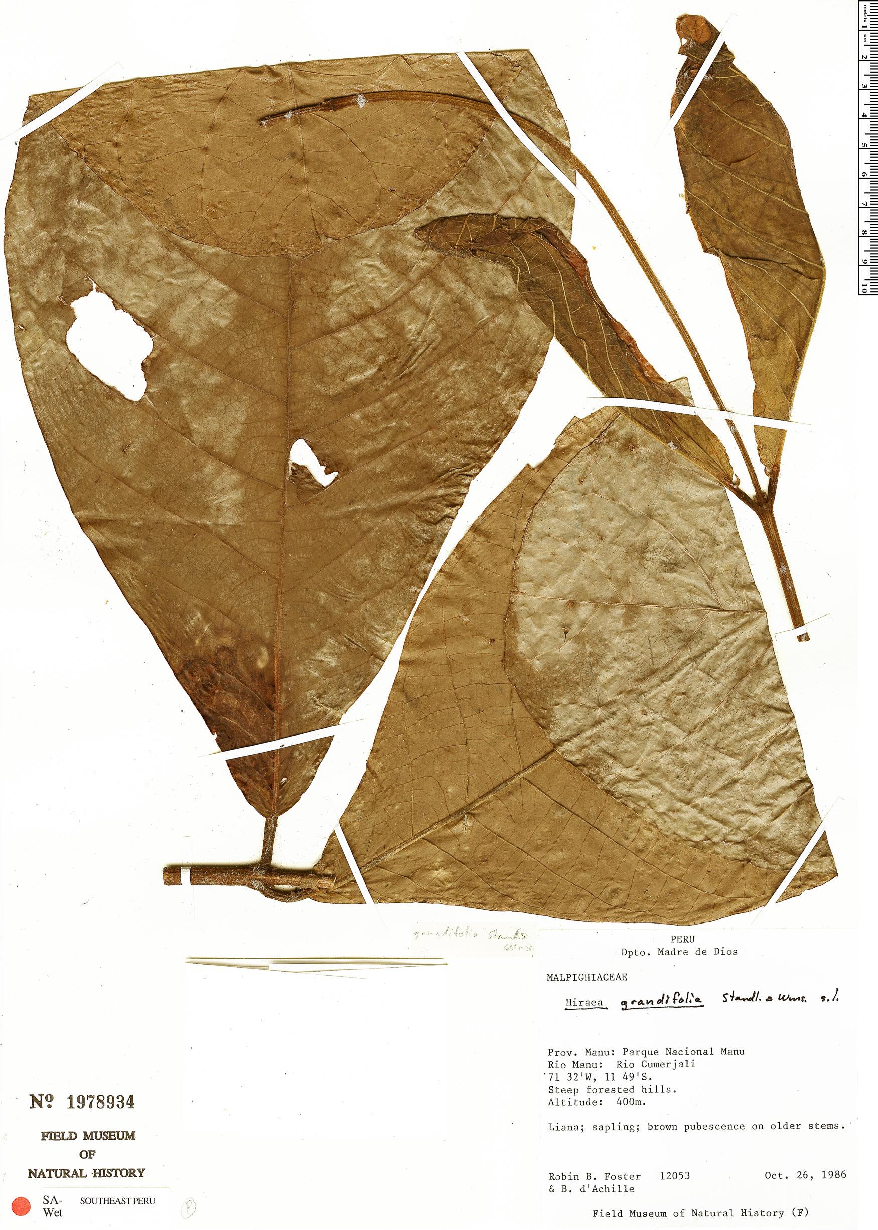 Espécimen: Hiraea grandifolia