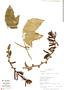 Psiguria ternata (Roem.) C. Jeffrey, Peru, R. B. Foster 12050, F