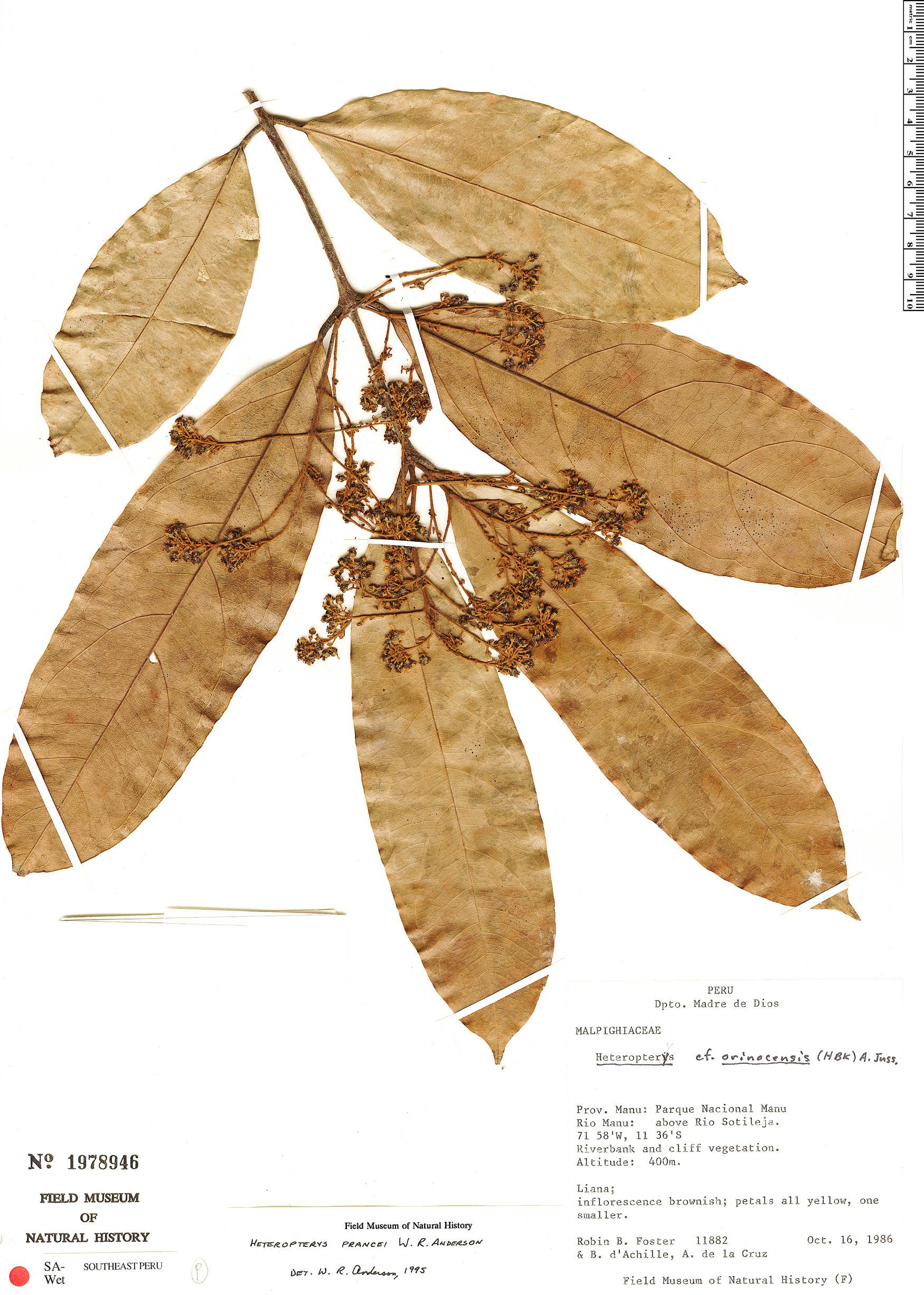 Specimen: Heteropterys prancei