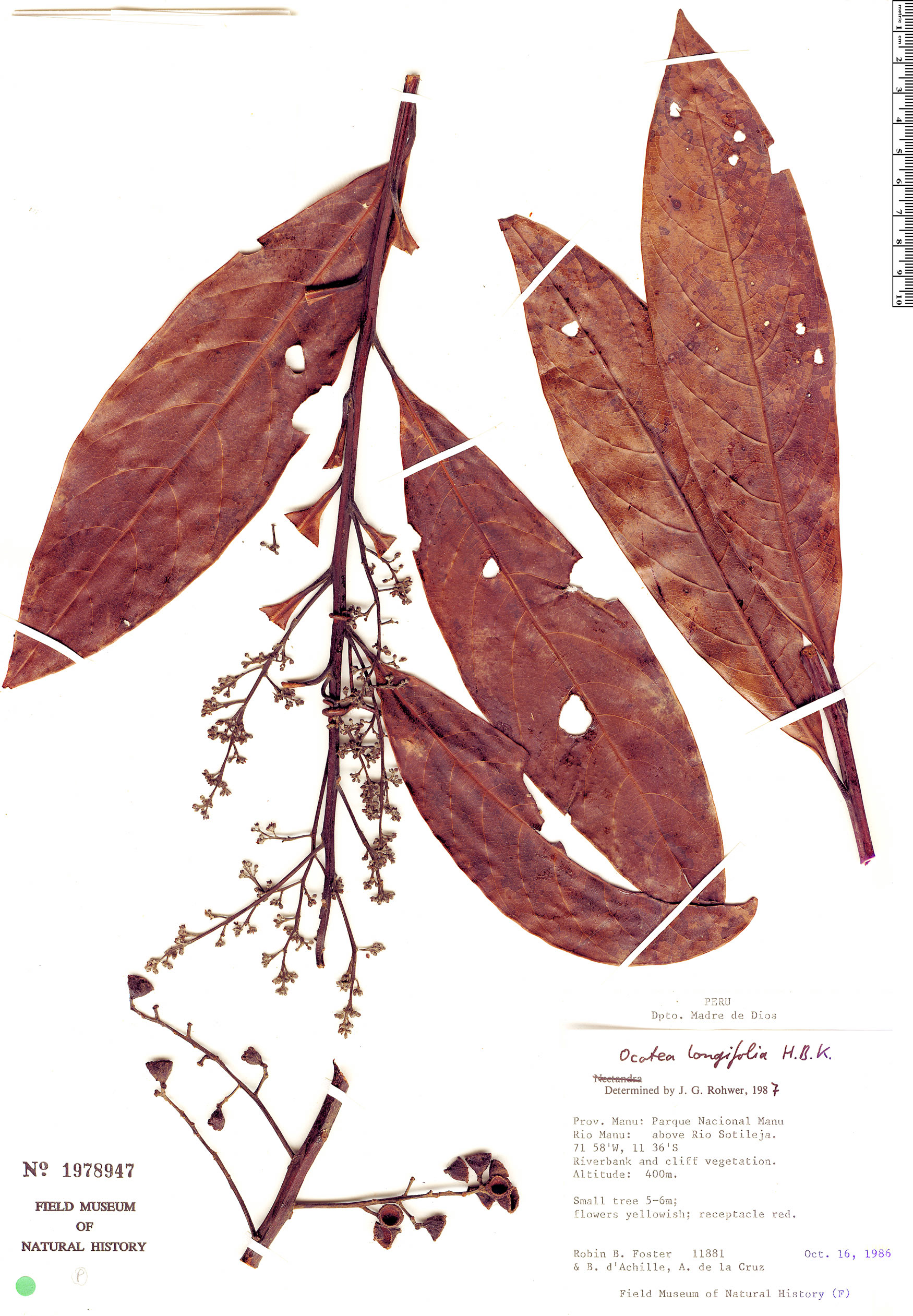Specimen: Ocotea longifolia