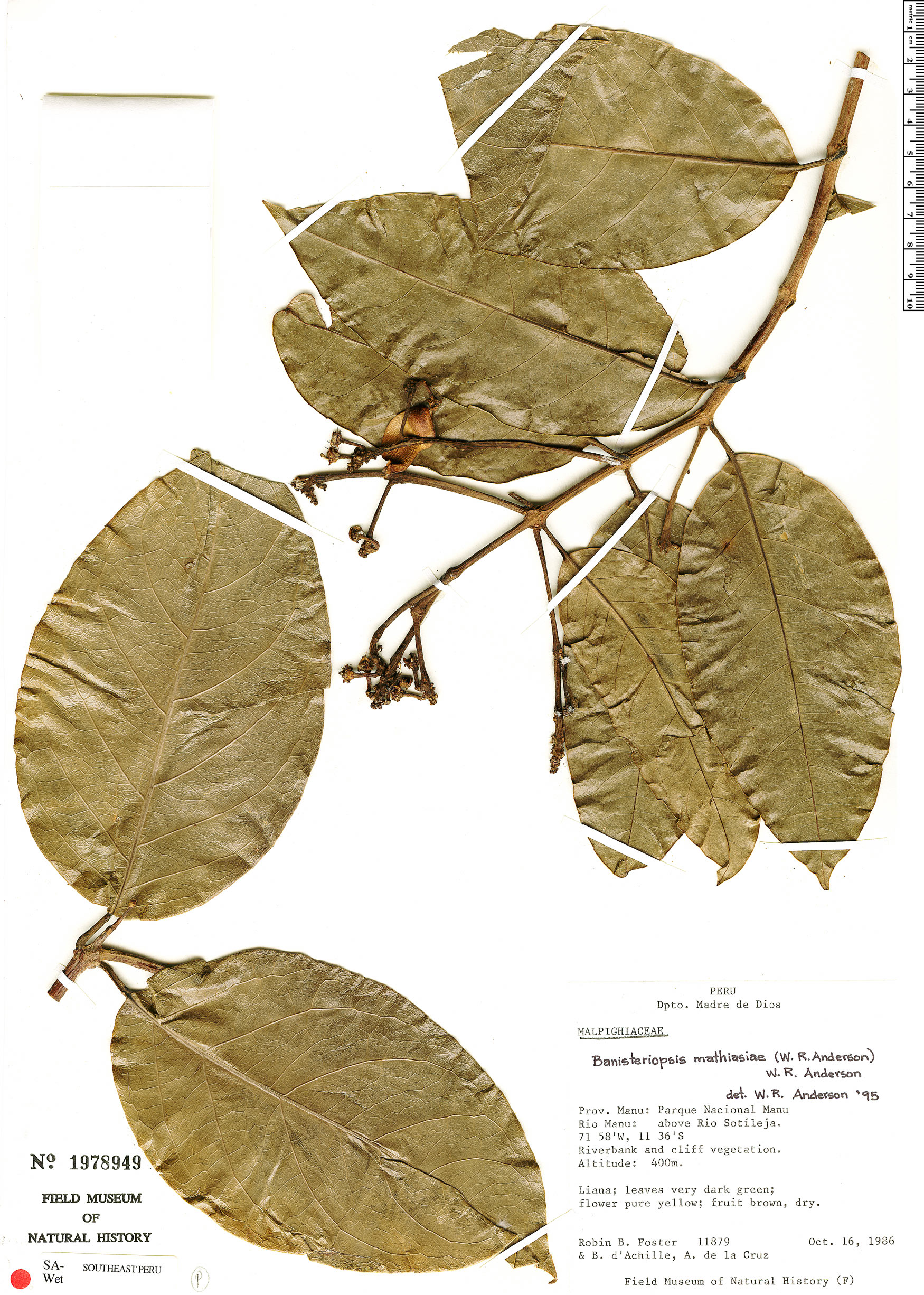 Specimen: Bronwenia mathiasiae