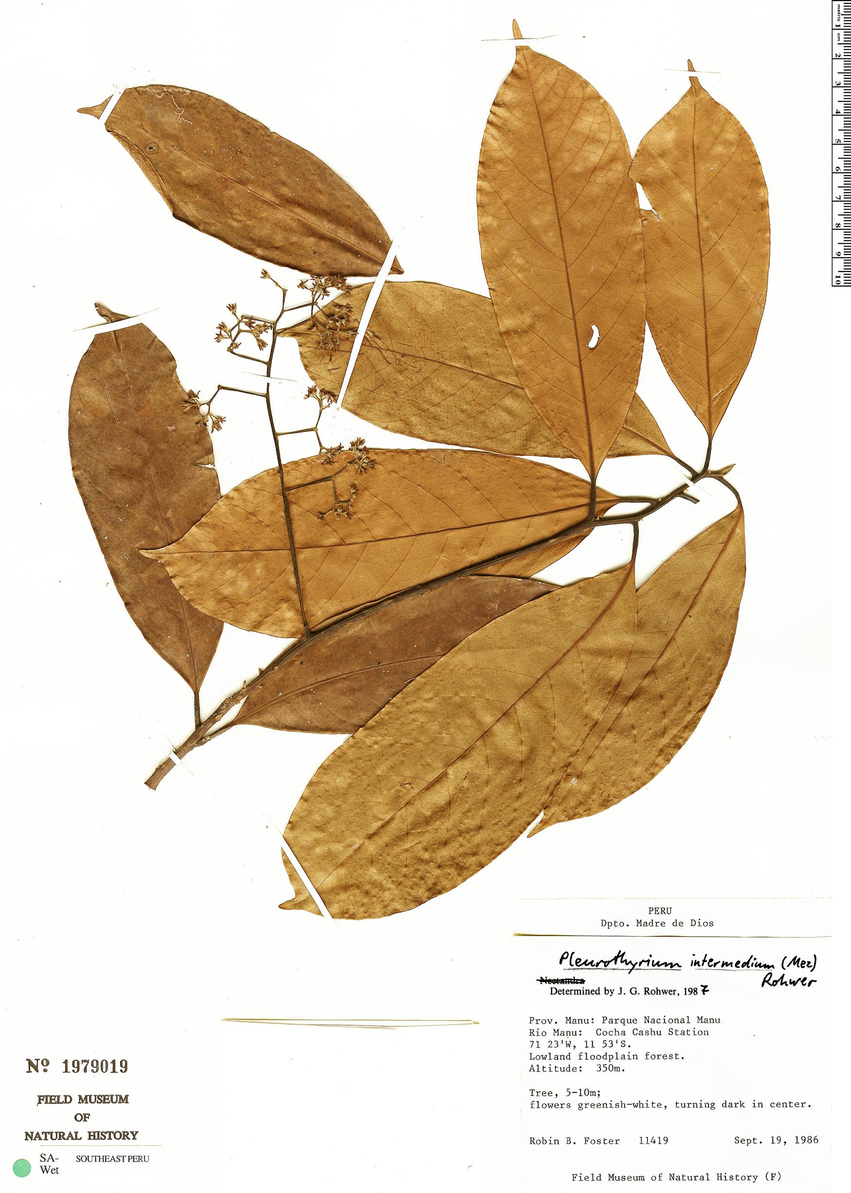 Specimen: Pleurothyrium intermedium