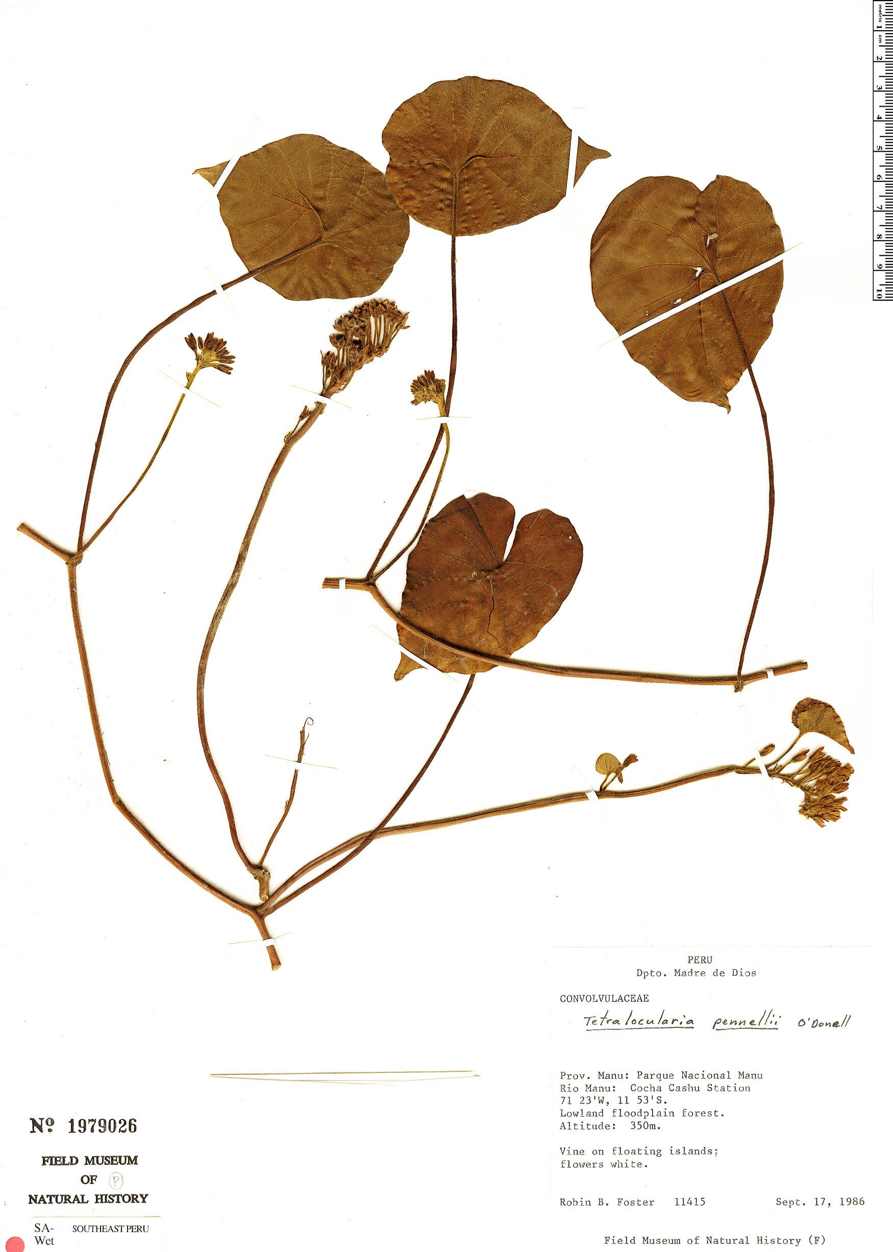 Espécimen: Tetralocularia pennellii