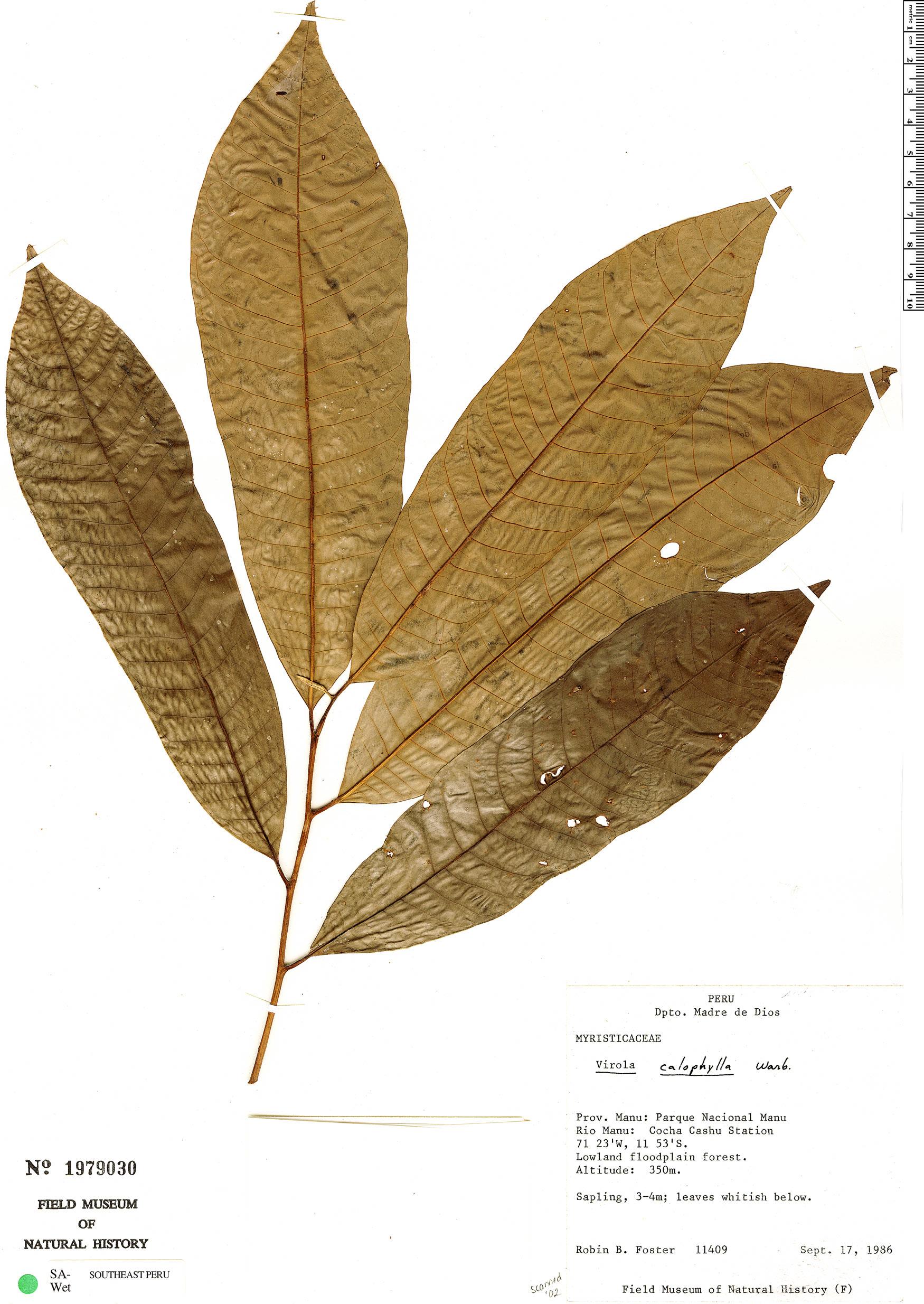 Espécimen: Virola calophylla