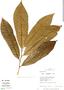 Virola calophylla (Spruce) Warb., Peru, R. B. Foster 11409, F