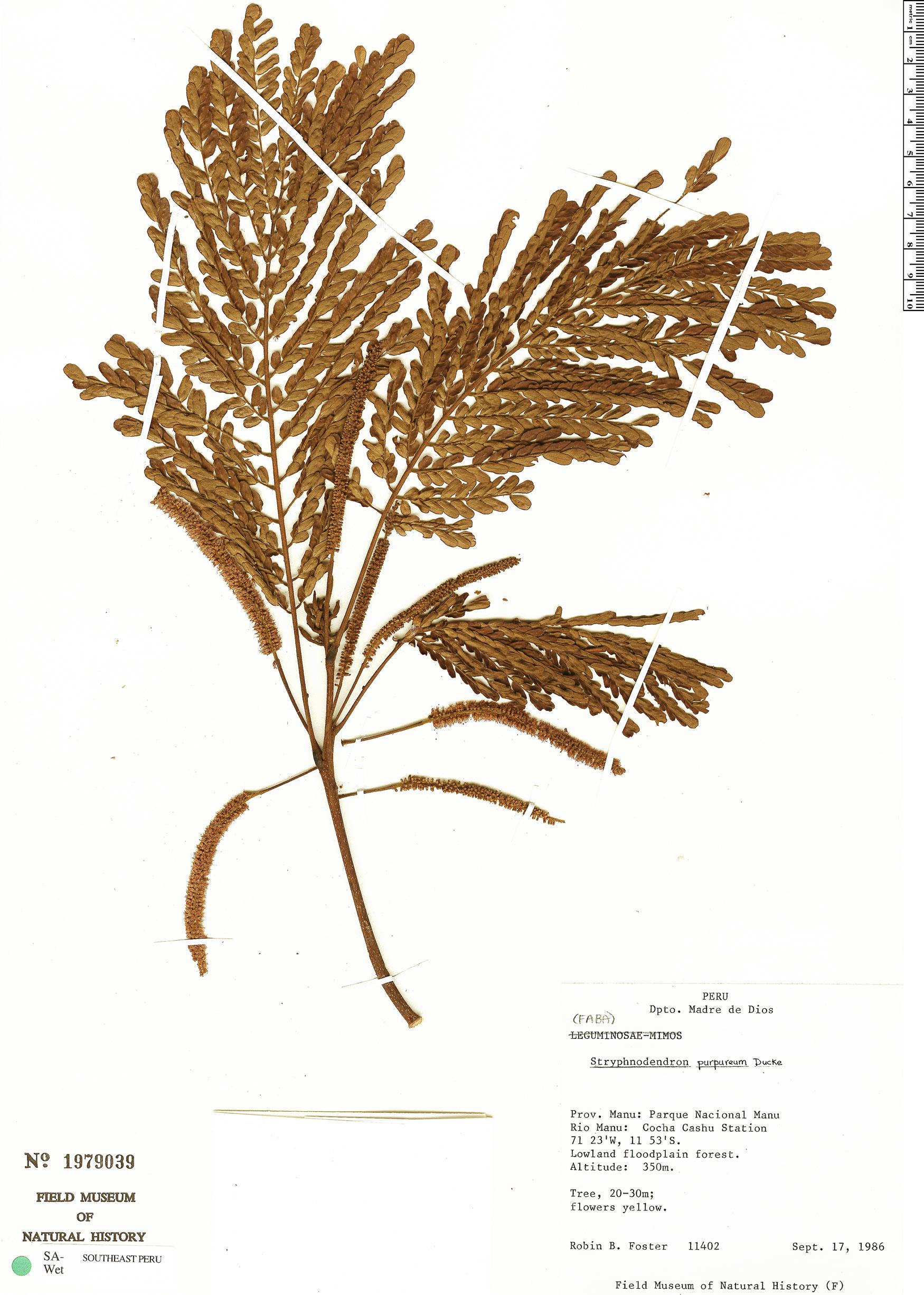 Specimen: Stryphnodendron purpureum