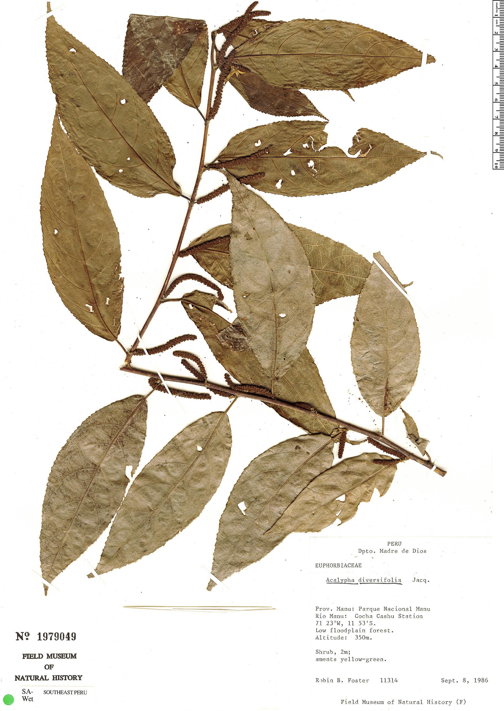 Espécime: Acalypha diversifolia