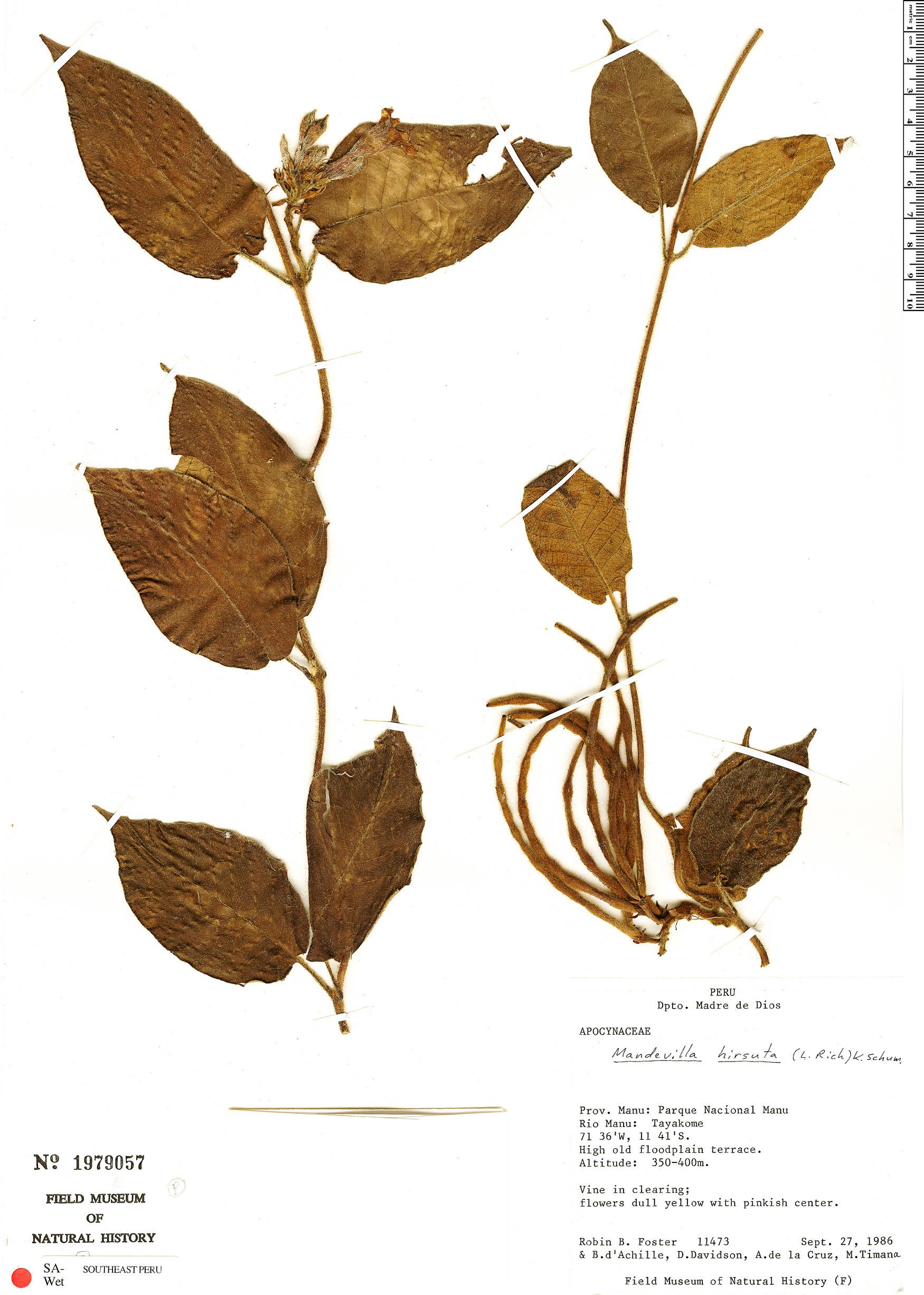 Espécime: Mandevilla hirsuta
