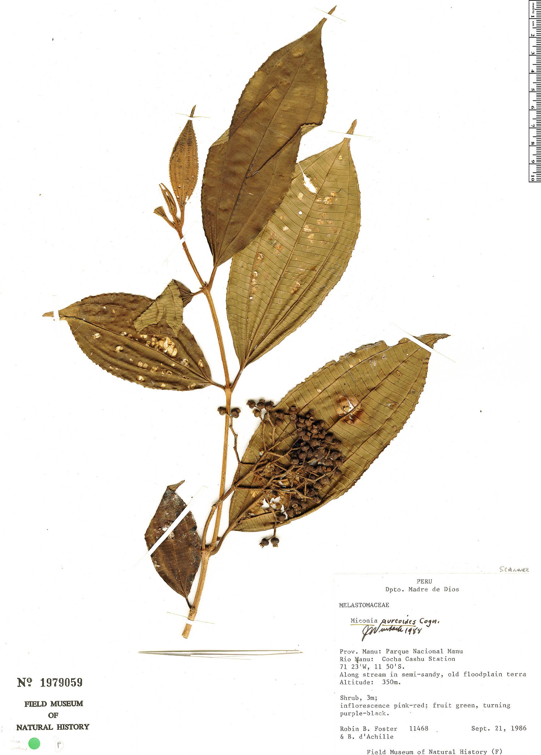 Specimen: Miconia aureoides