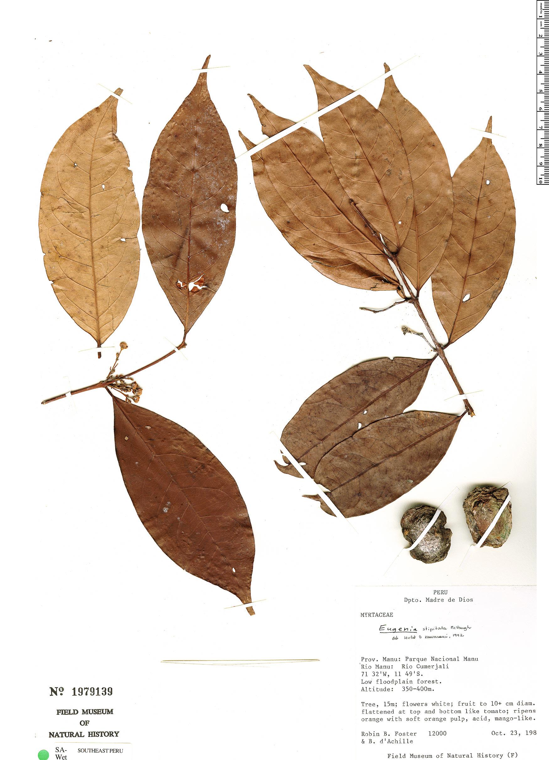 Specimen: Eugenia stipitata