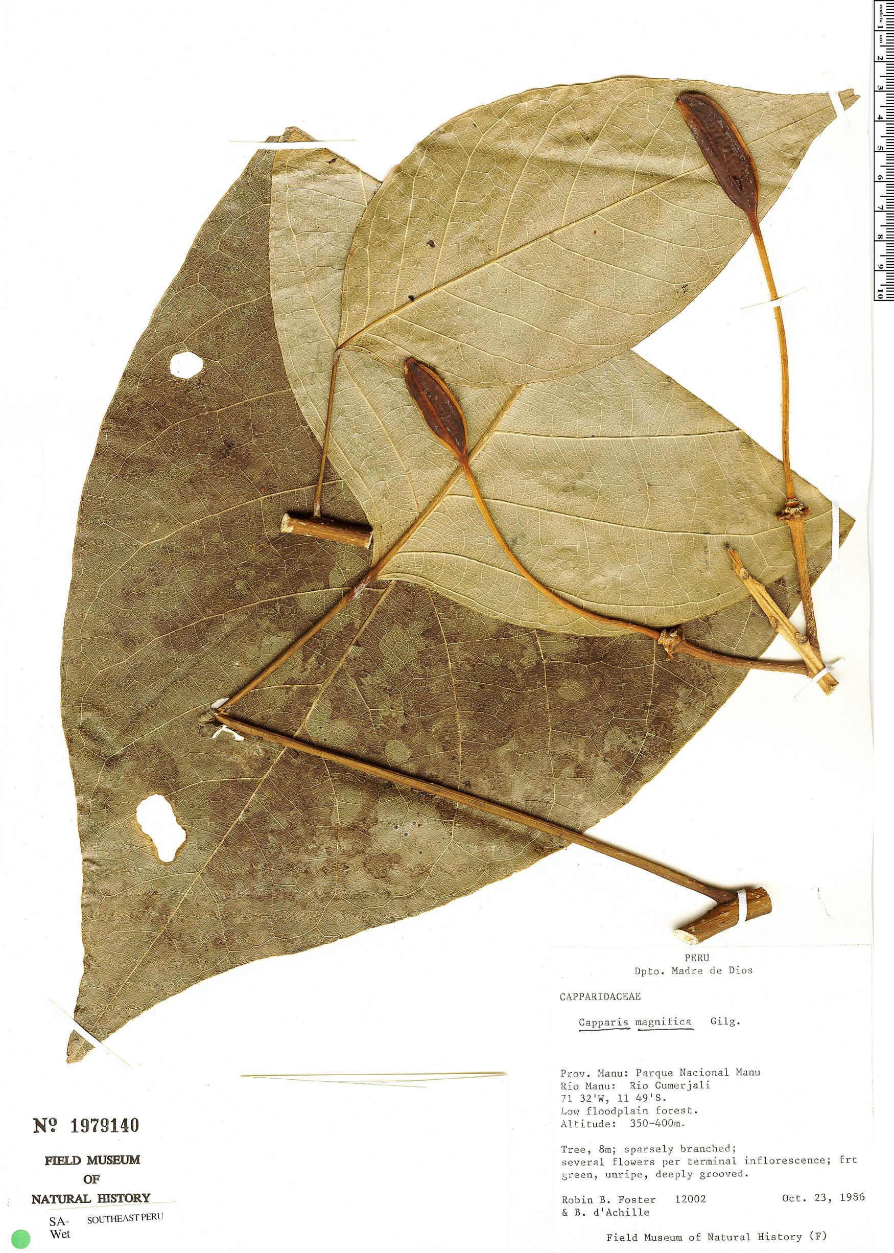 Specimen: Capparidastrum macrophyllum
