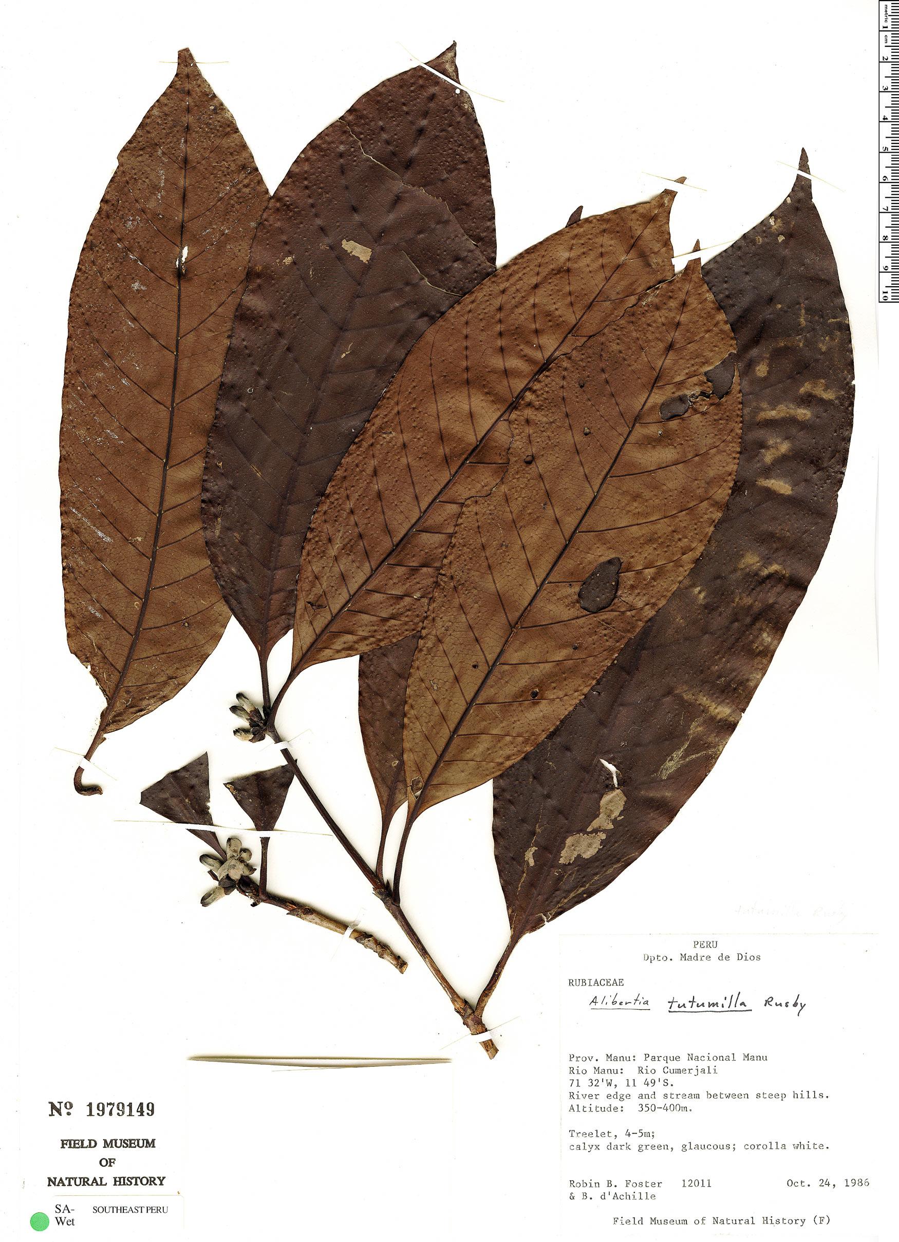 Specimen: Alibertia occidentalis
