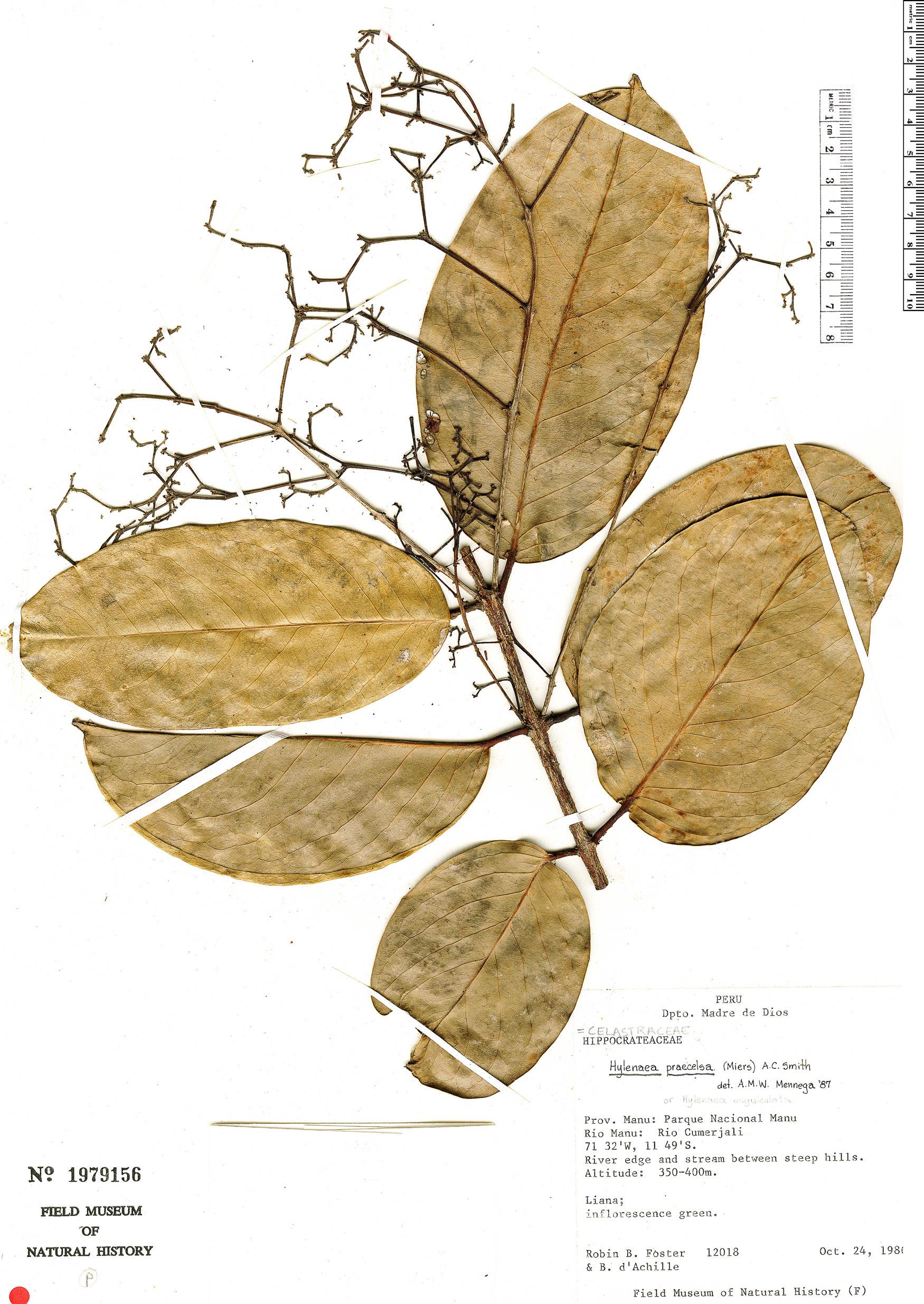Specimen: Hylenaea praecelsa