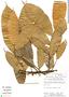 Pseudolmedia laevis, Peru, J. Salick 7281, F